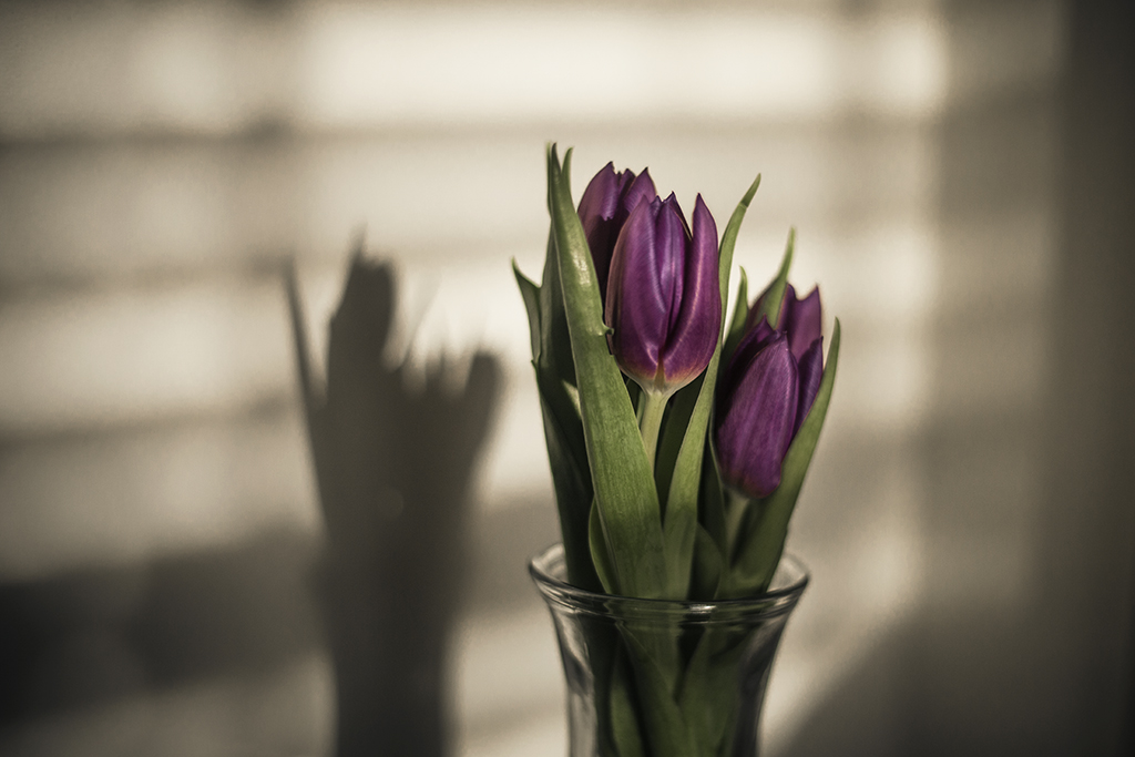 Purple-tulips-in-natural-window-light-by-Atlanta-photographer-Chanel-French