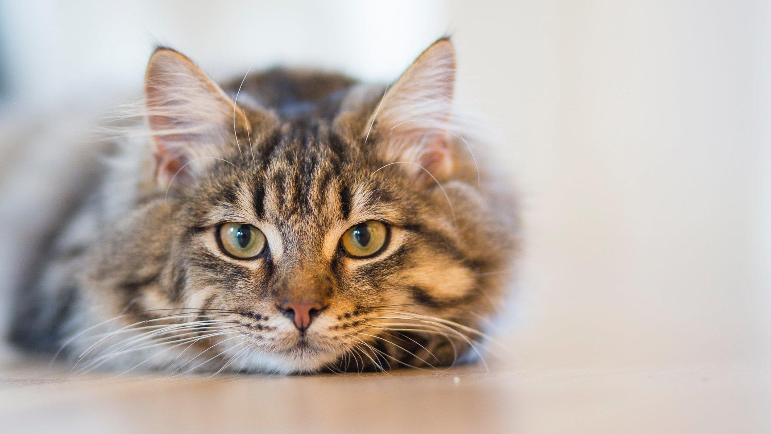 Feline Adoption -