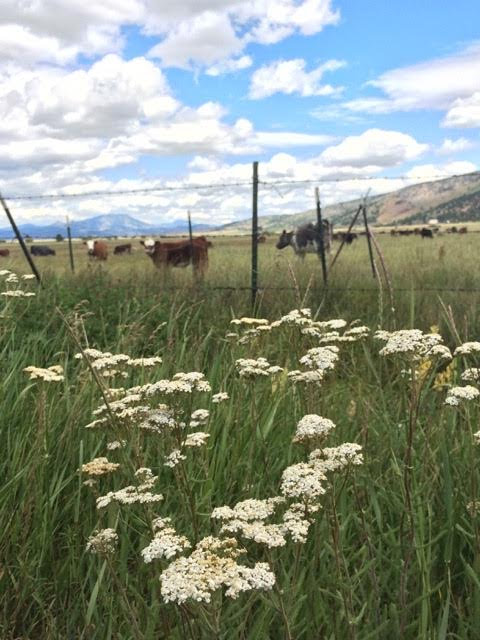 cows and yarrow.jpg