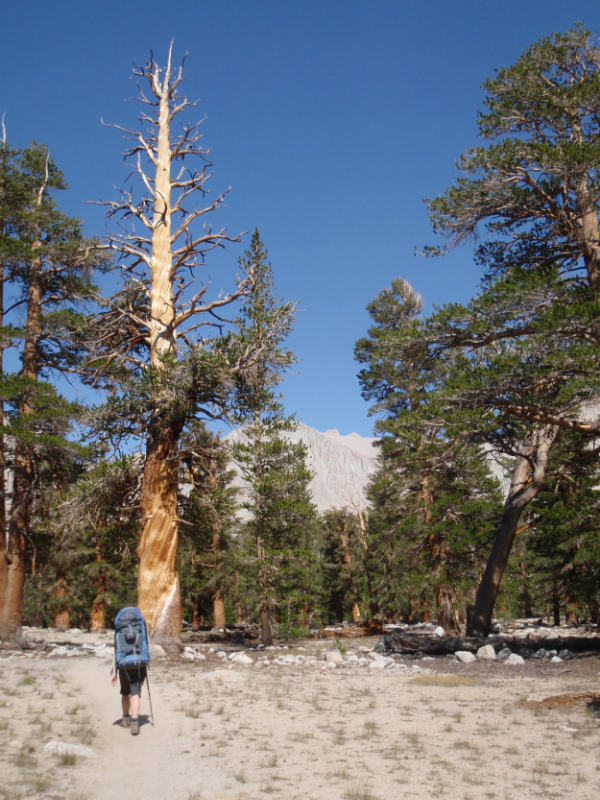 Cheri heads down the JMT towards Crabtree through a stand of lodgepole pine