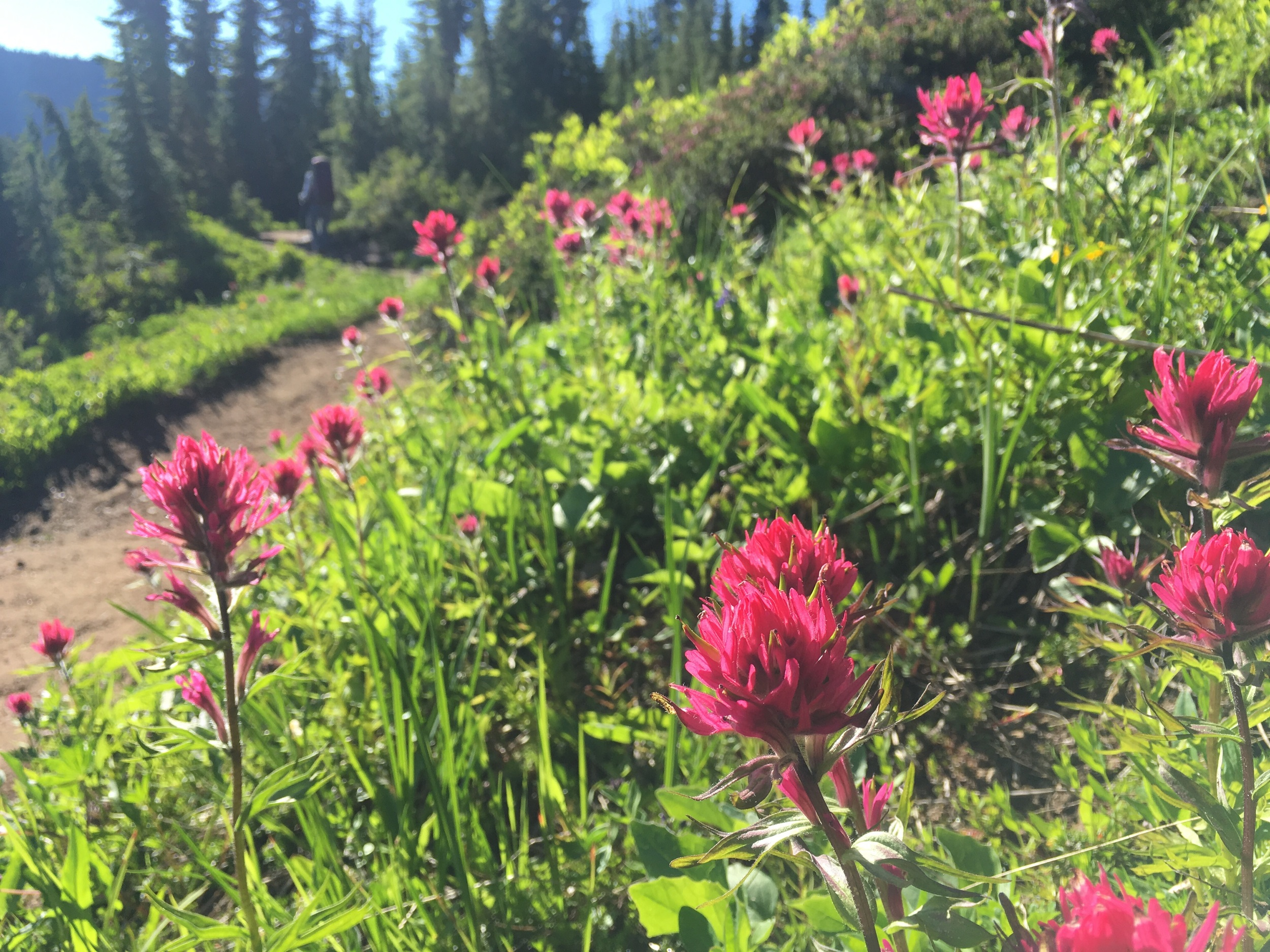 Scarlet paintbrush in the alpine meadow.