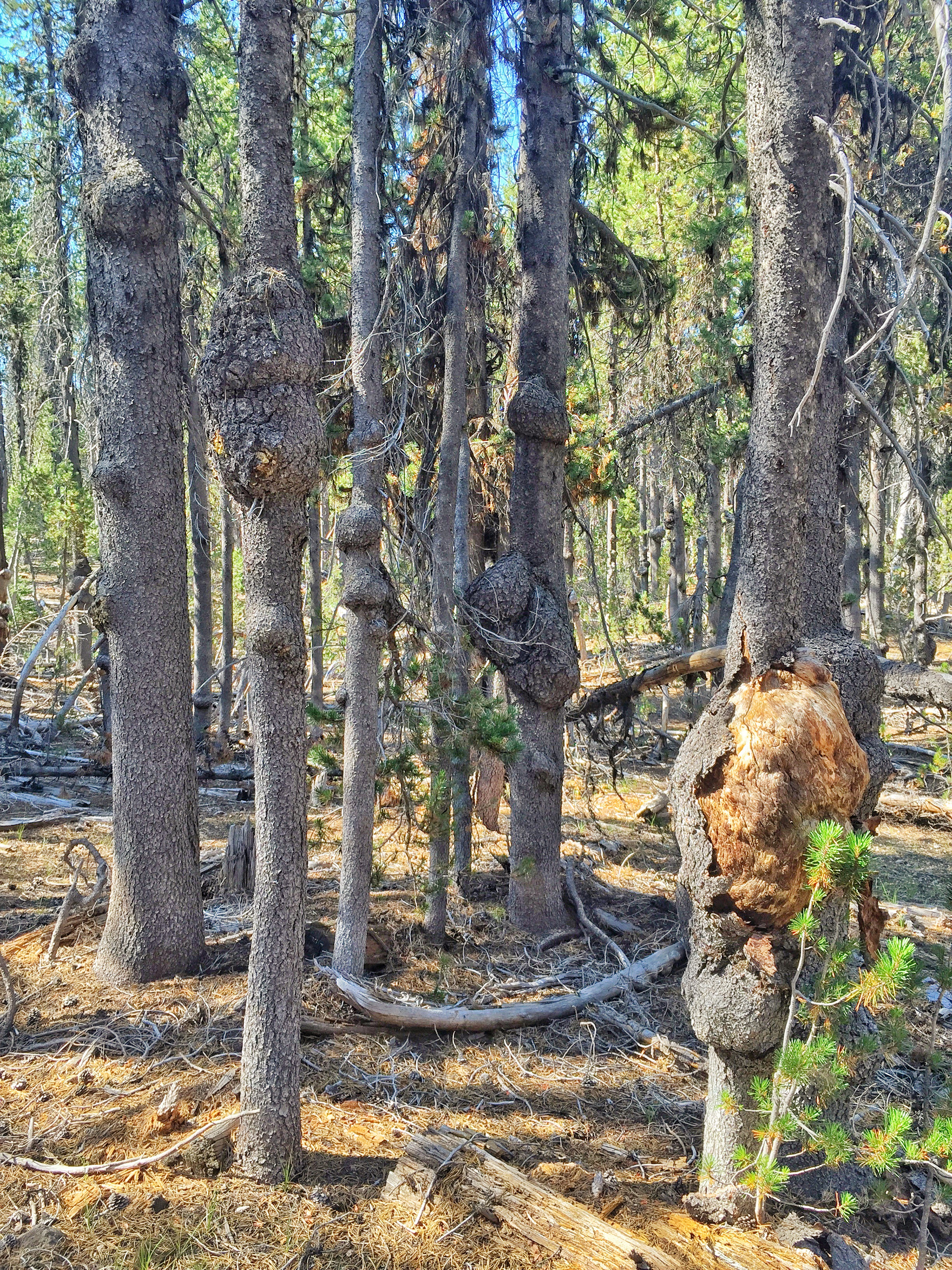 Diseased lodgepole pines in Crater Lake National Park
