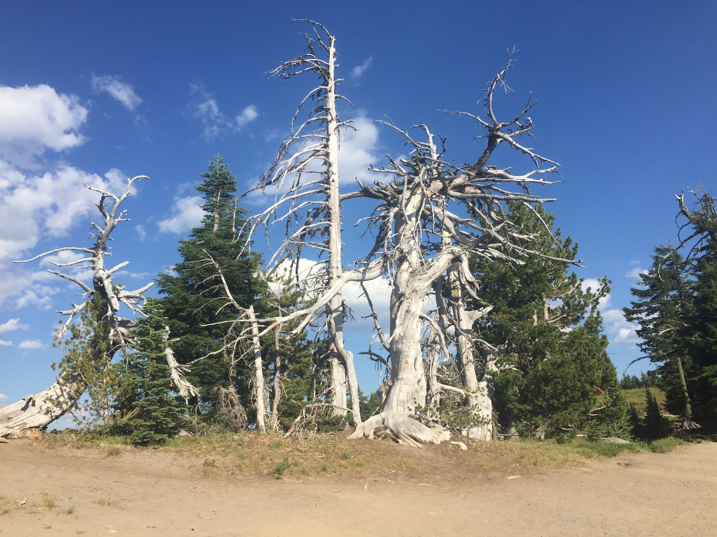 Ancient trees line the west rim of Crater Lake and are nearly as stunning as the water itself