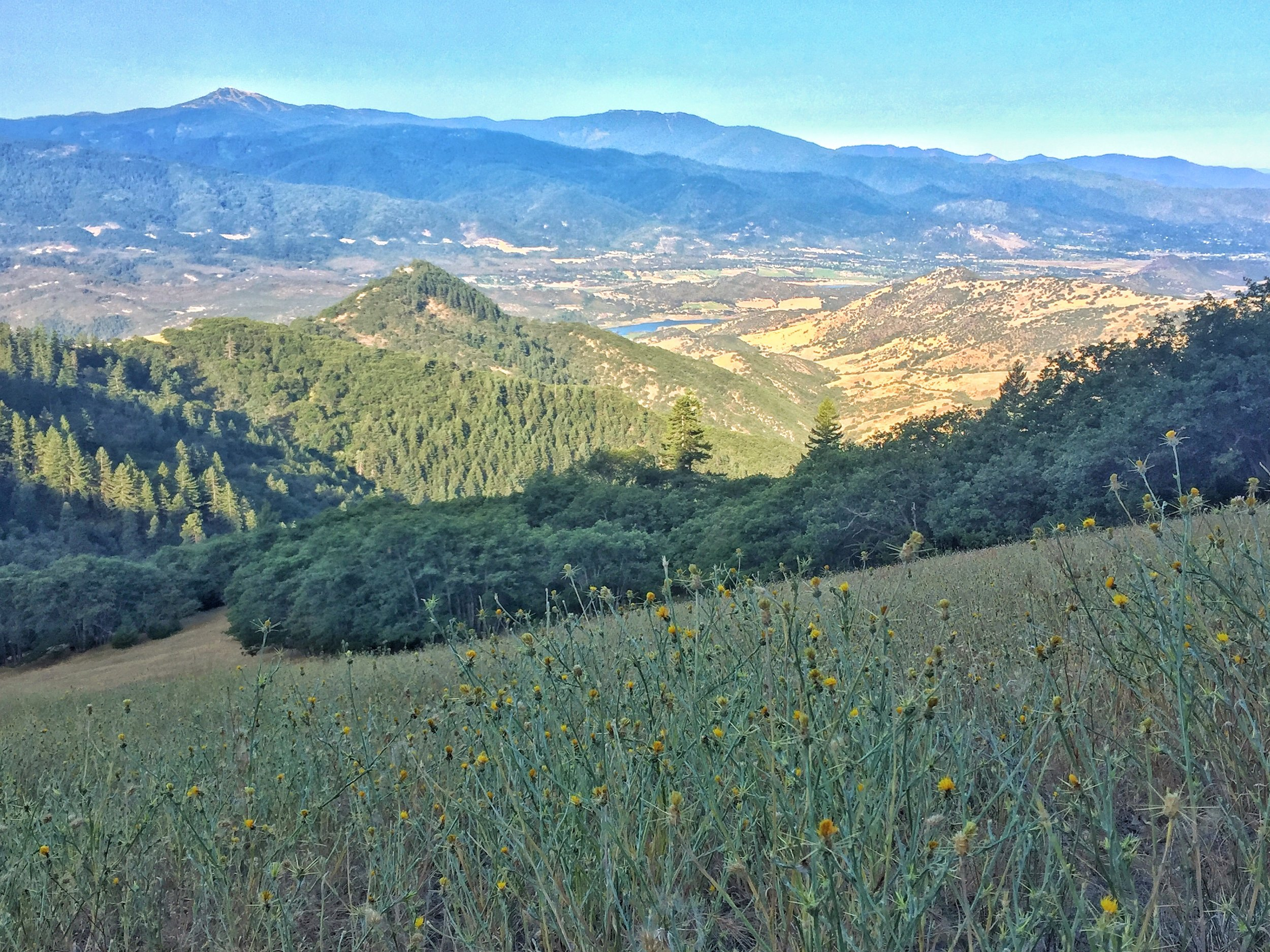 A slope of yellow star thistle with a view of distant Mt. Ashland across the valley