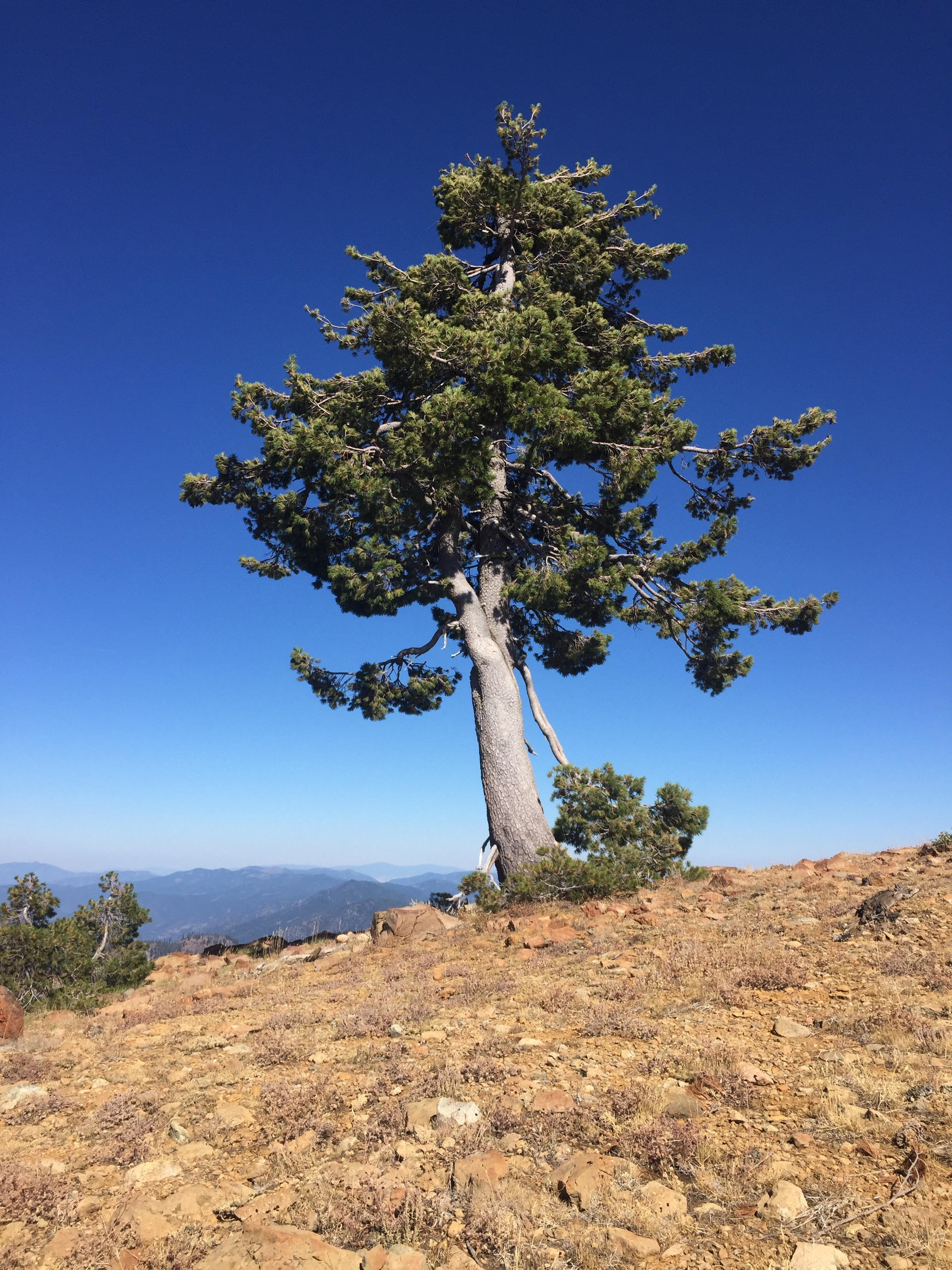 Windswept Whitebark pine on a high ridge in the Marble Mountains (or perhaps northern Foxtail?)