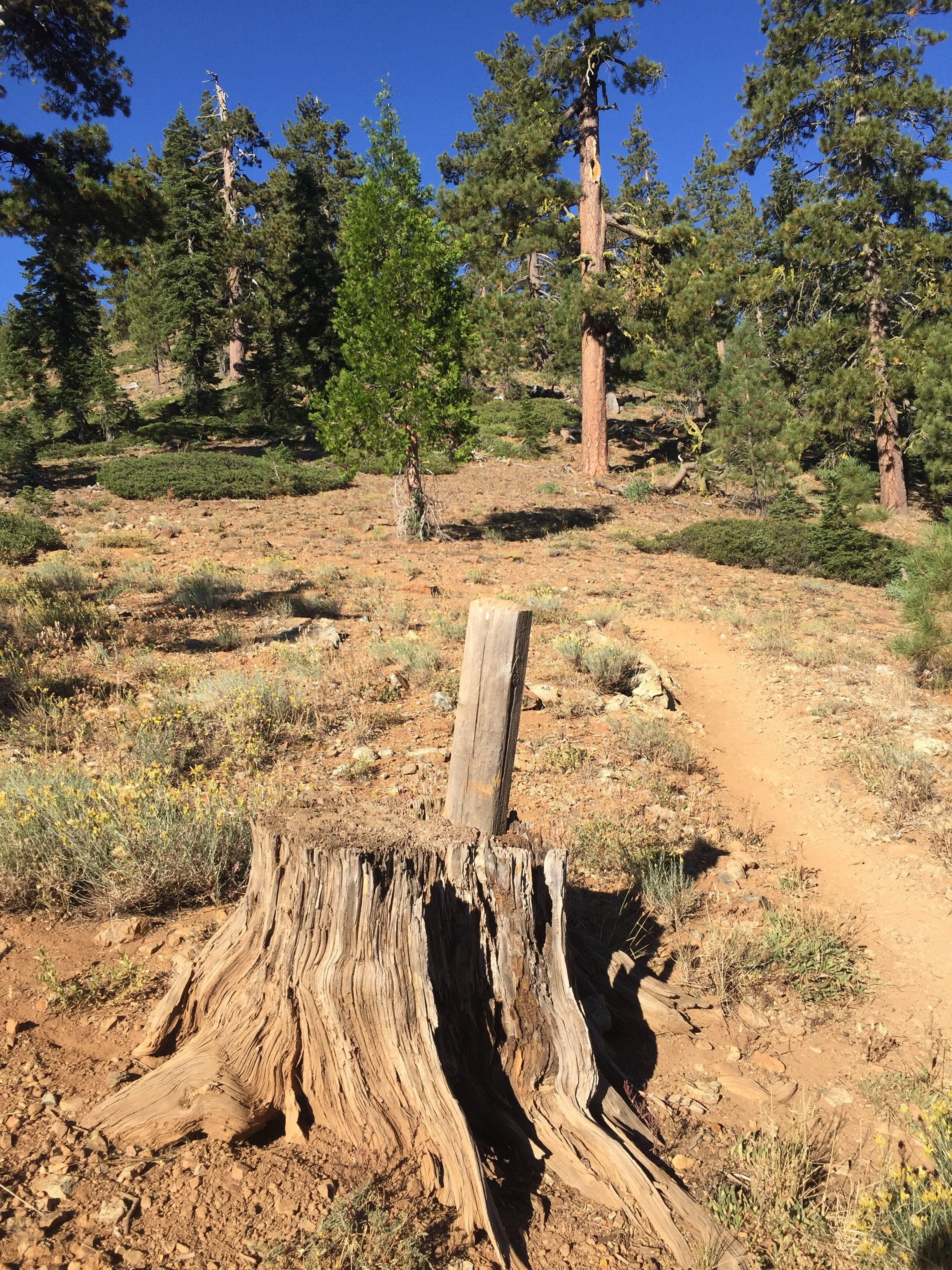 Generally these PCT sign-posts are set into the ground. In this case, the trail builders decided to just wedge it into a stump instead. Maybe the ground was too hard for digging?