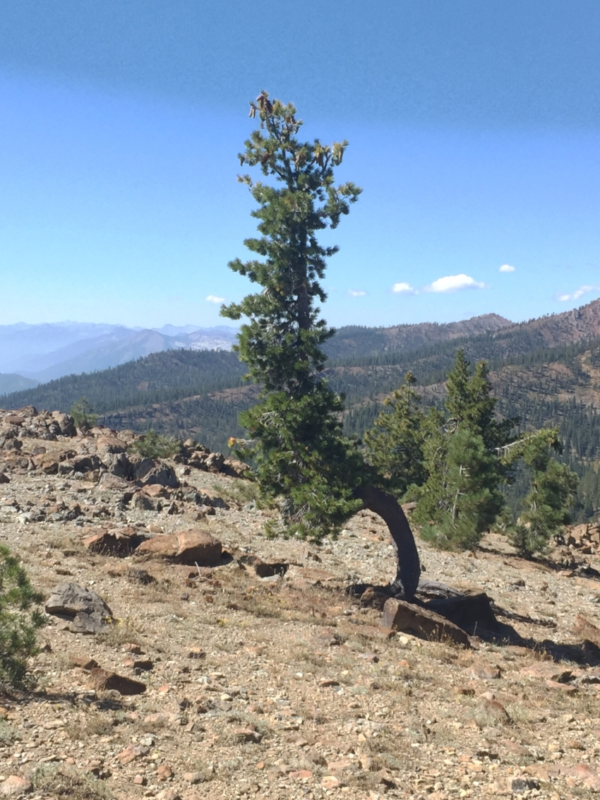 A hardy Western white pine surviving on a windy slope with a smoky view back towards the Trinity Alps just north of the Parks Creek Road