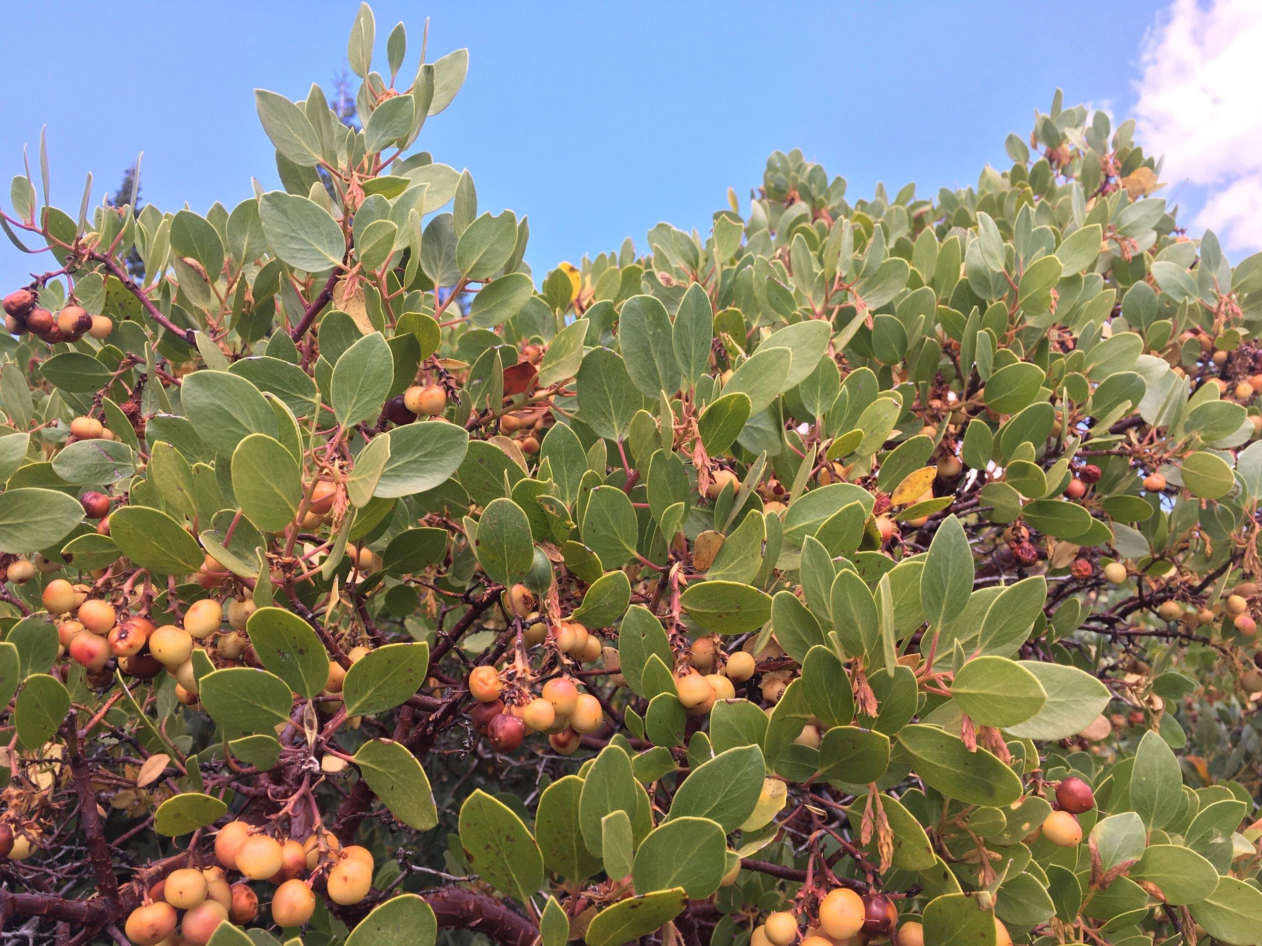 Manzanita berries aplenty along the trails.