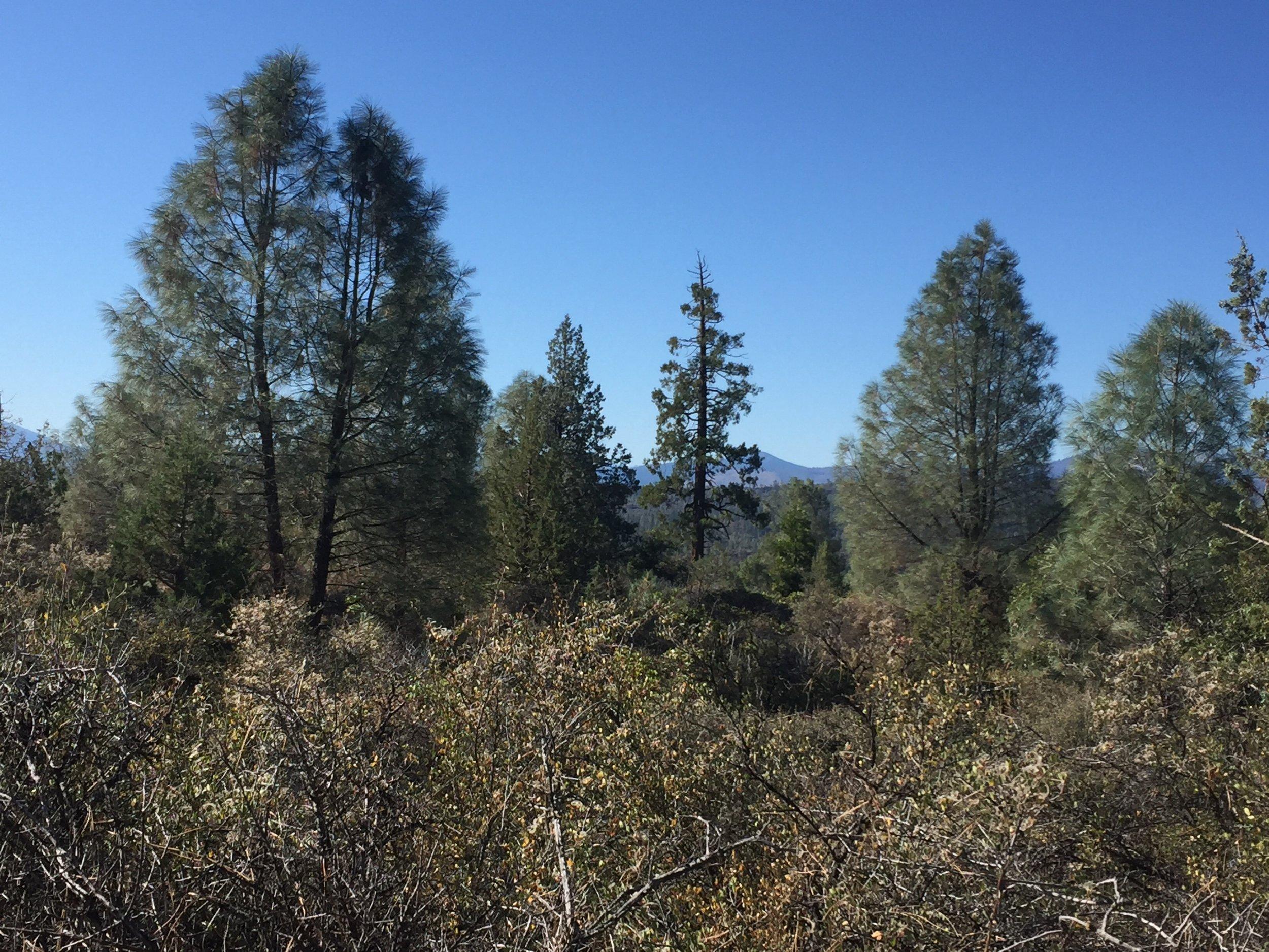 Gray pines dominated the open forest on the lava beds below the Hat Creek Rim