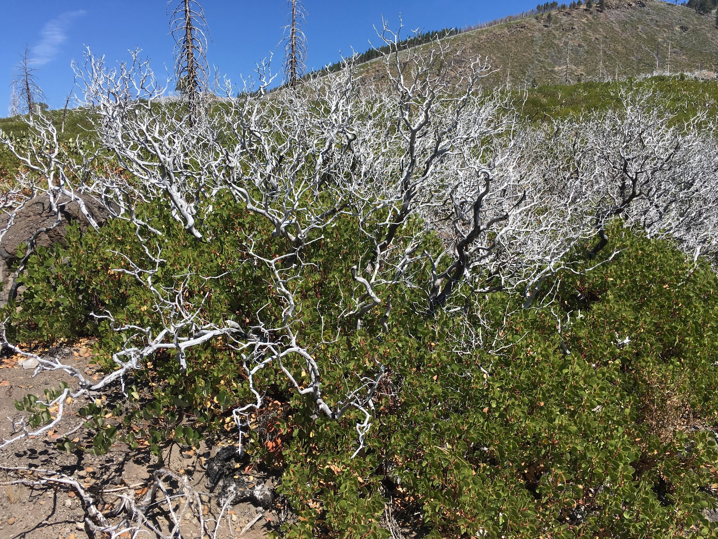 Manzanita skeletons being overtaken by new growth.