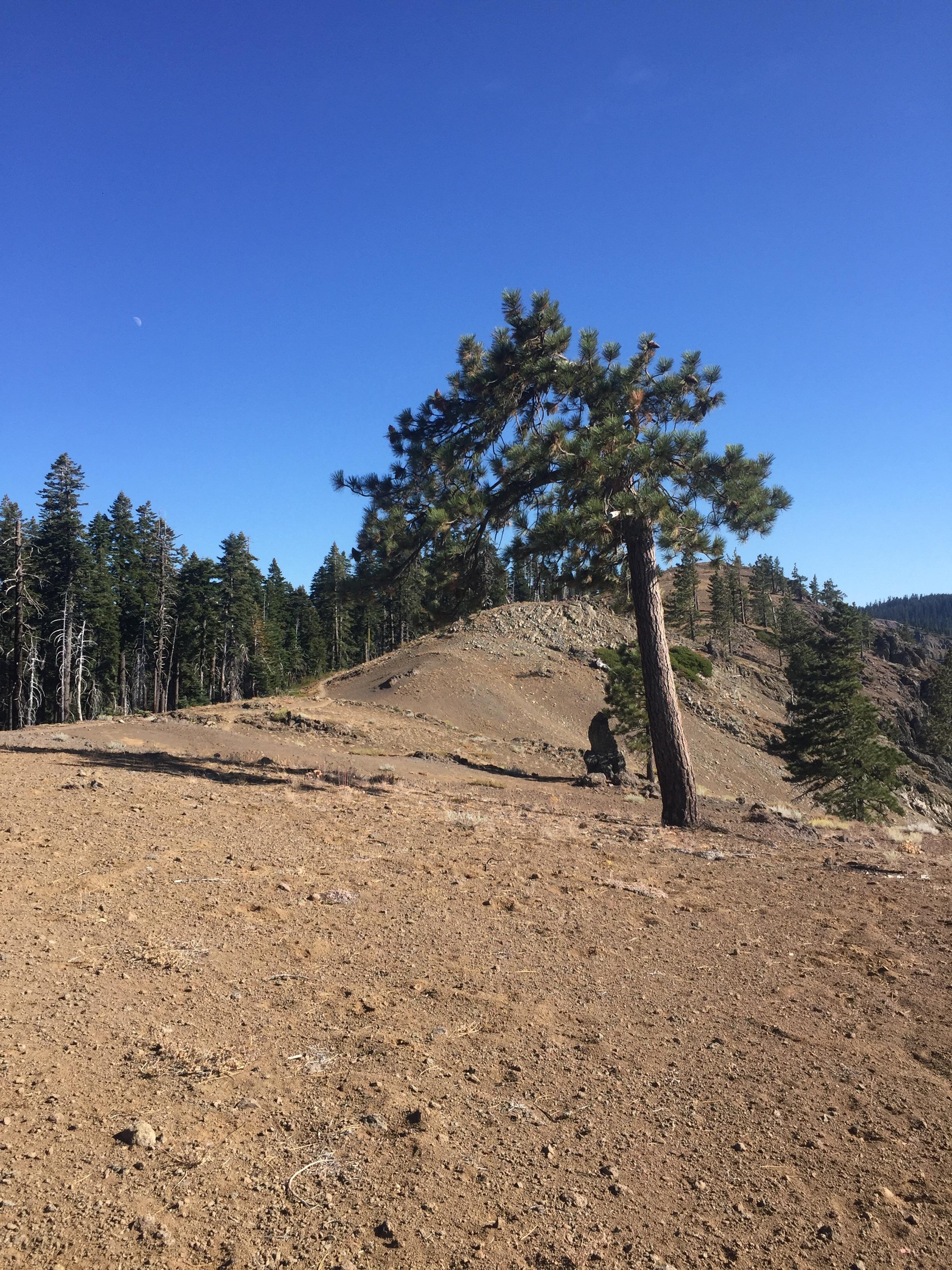 Windswept Jeffrey pine on a high slope approaching Humboldt Summit