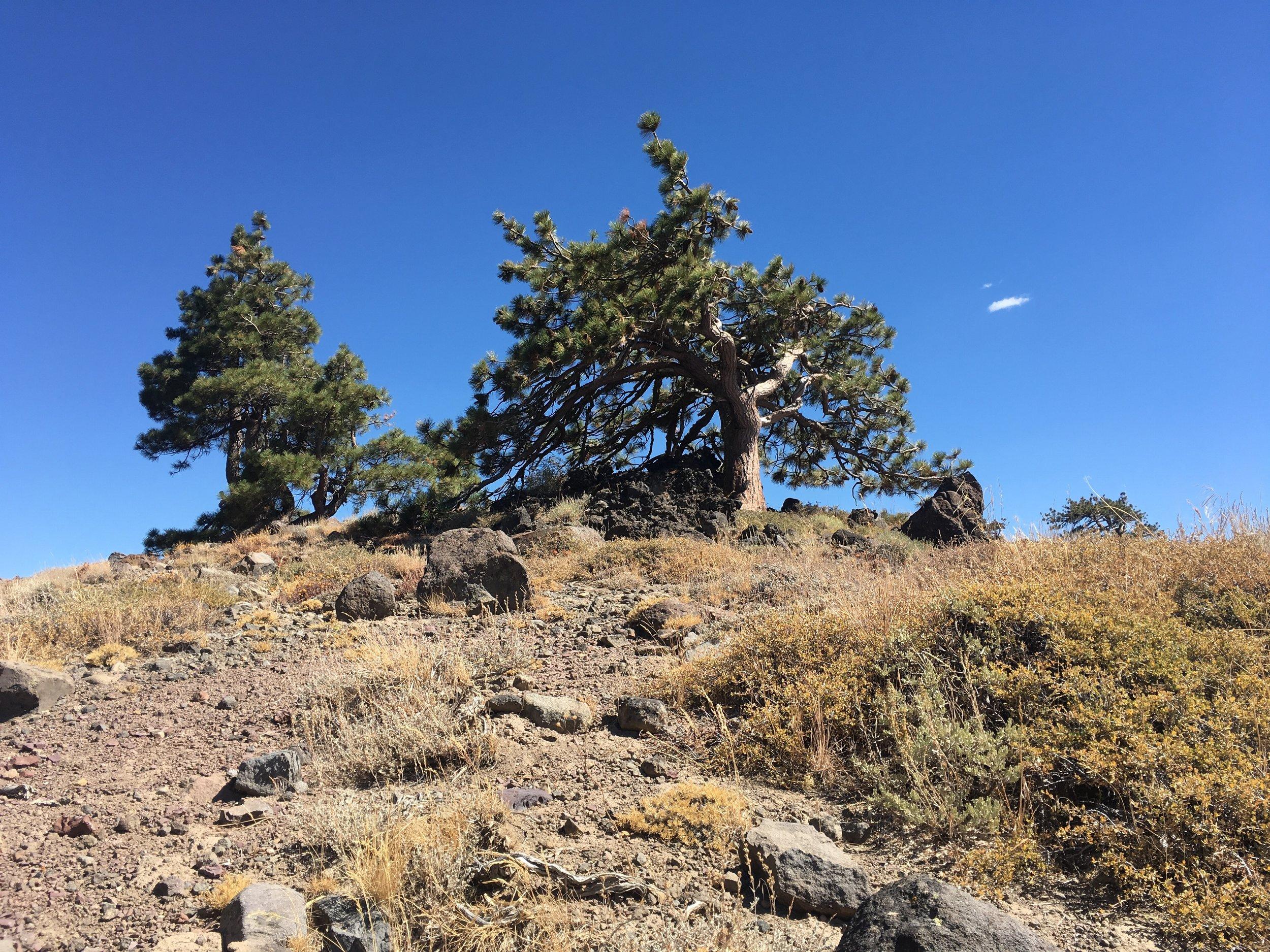Jeffrey pines take on extraordinary shapes on the windswept ridges.
