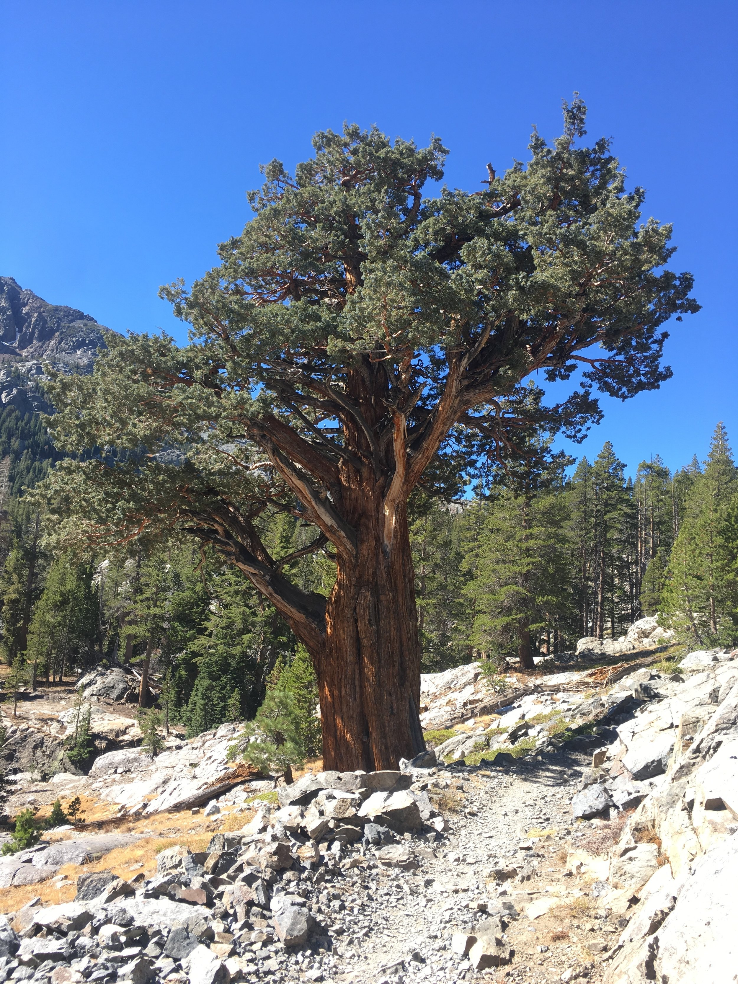 There are lots of amazing trees in the Sierra, Western Juniper is one of my faves.