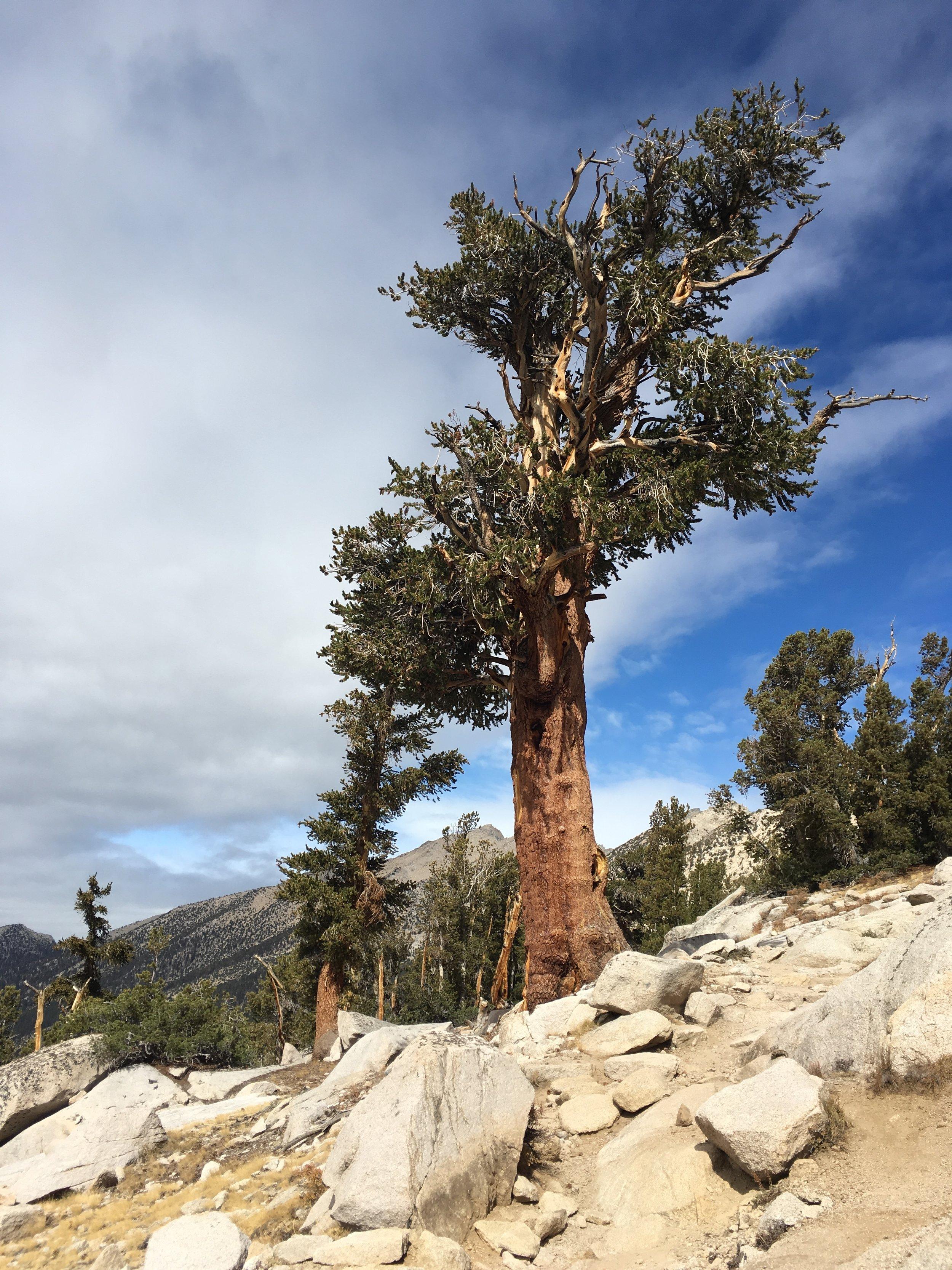 Southern Foxtail pine, a Sierra favorite.