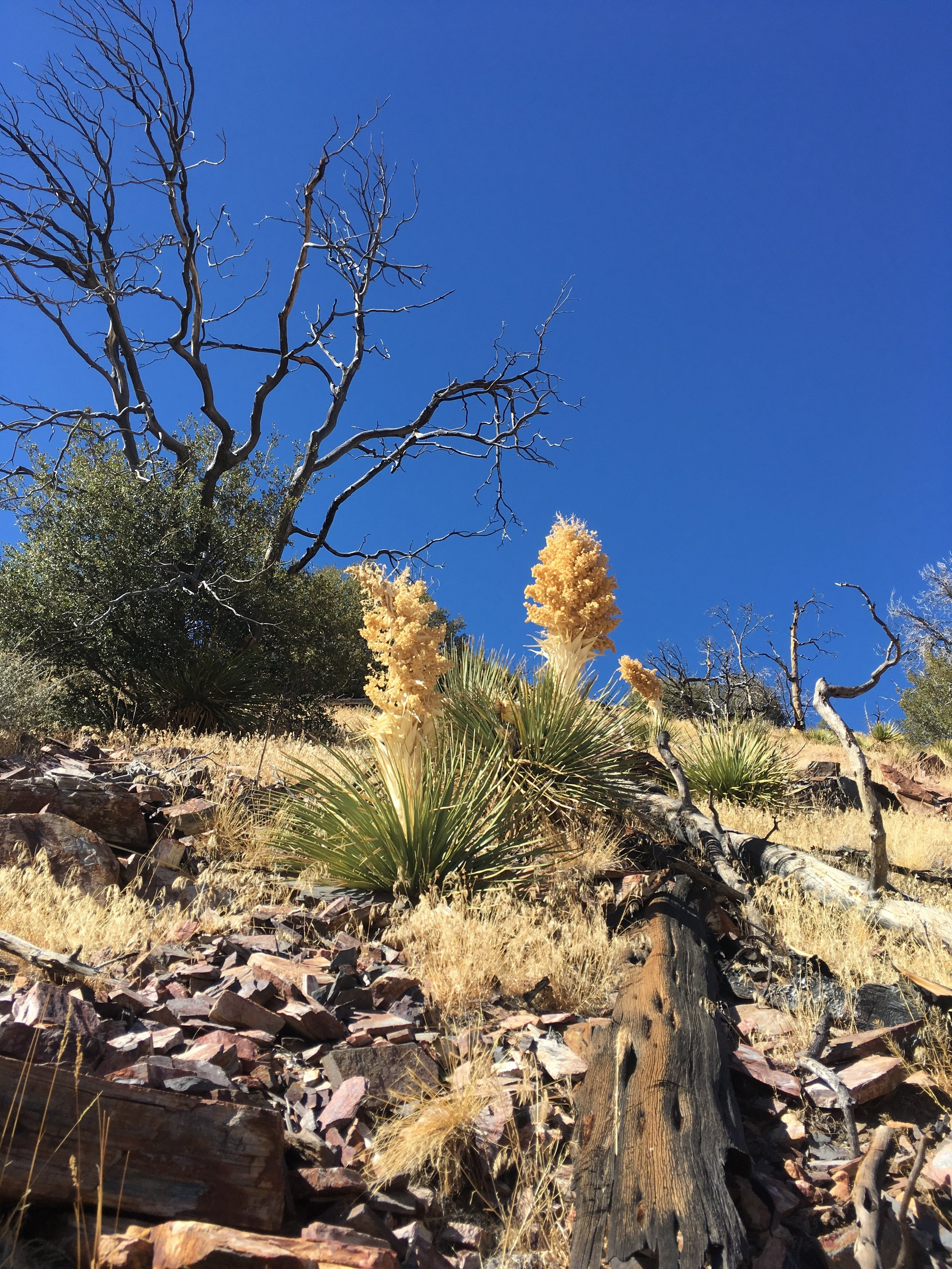 Yucca plants, the first we saw in the desert.