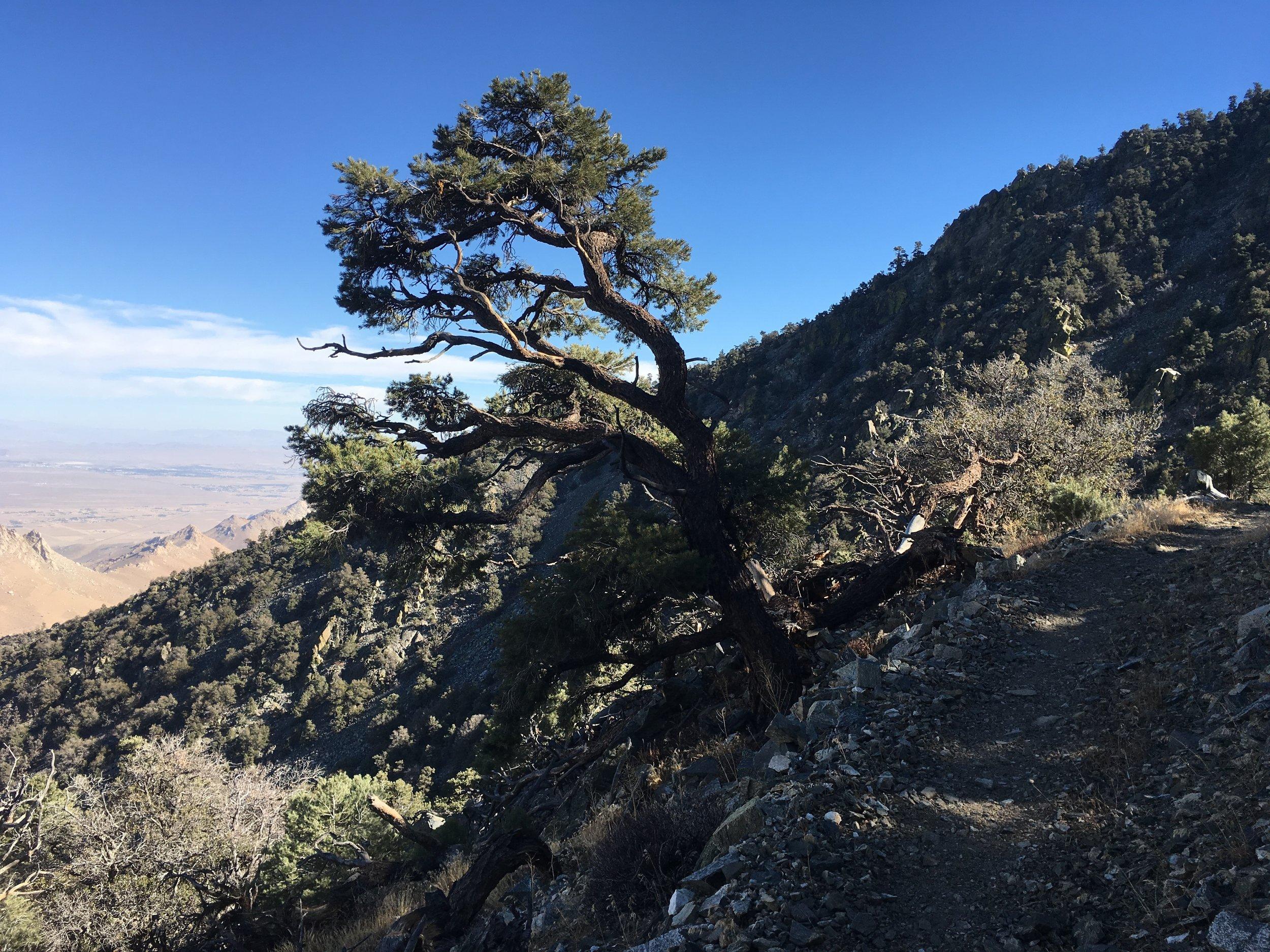 Windswept Pinyon pine on the edge of the desert.