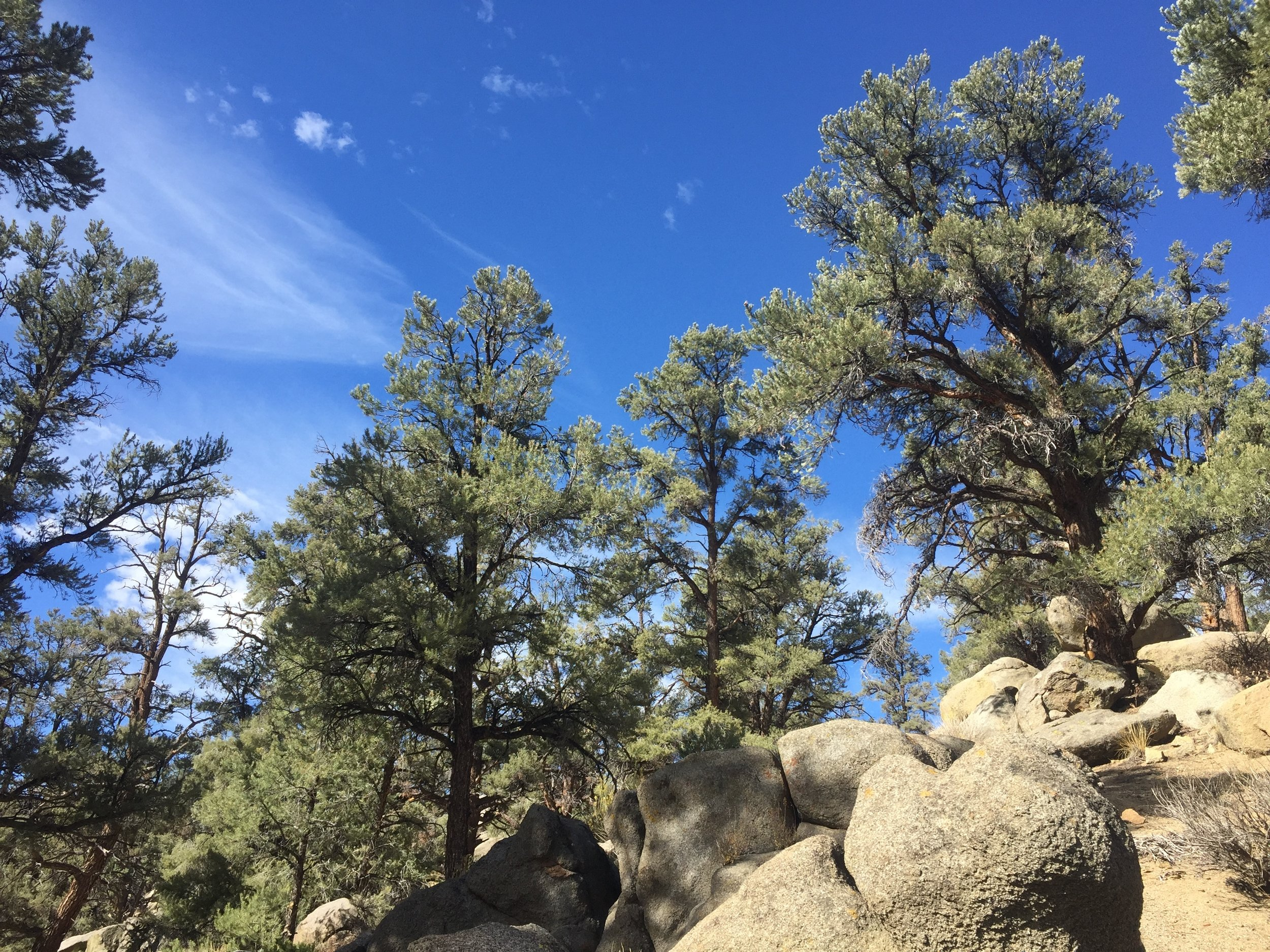 Pinyon Pines in the South Sierra Wilderness