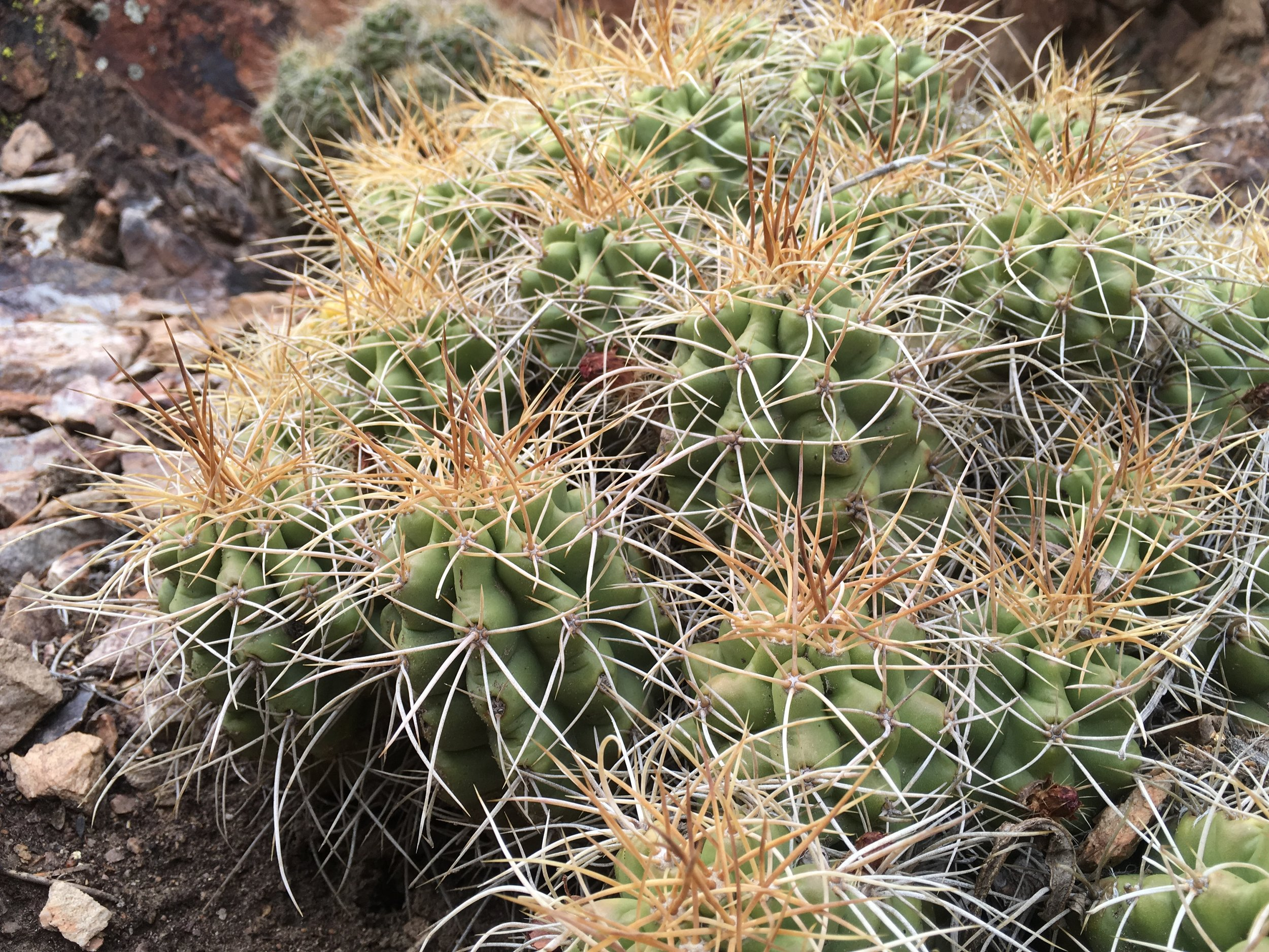 Cacti, we keep seeing new species the further south we hike.