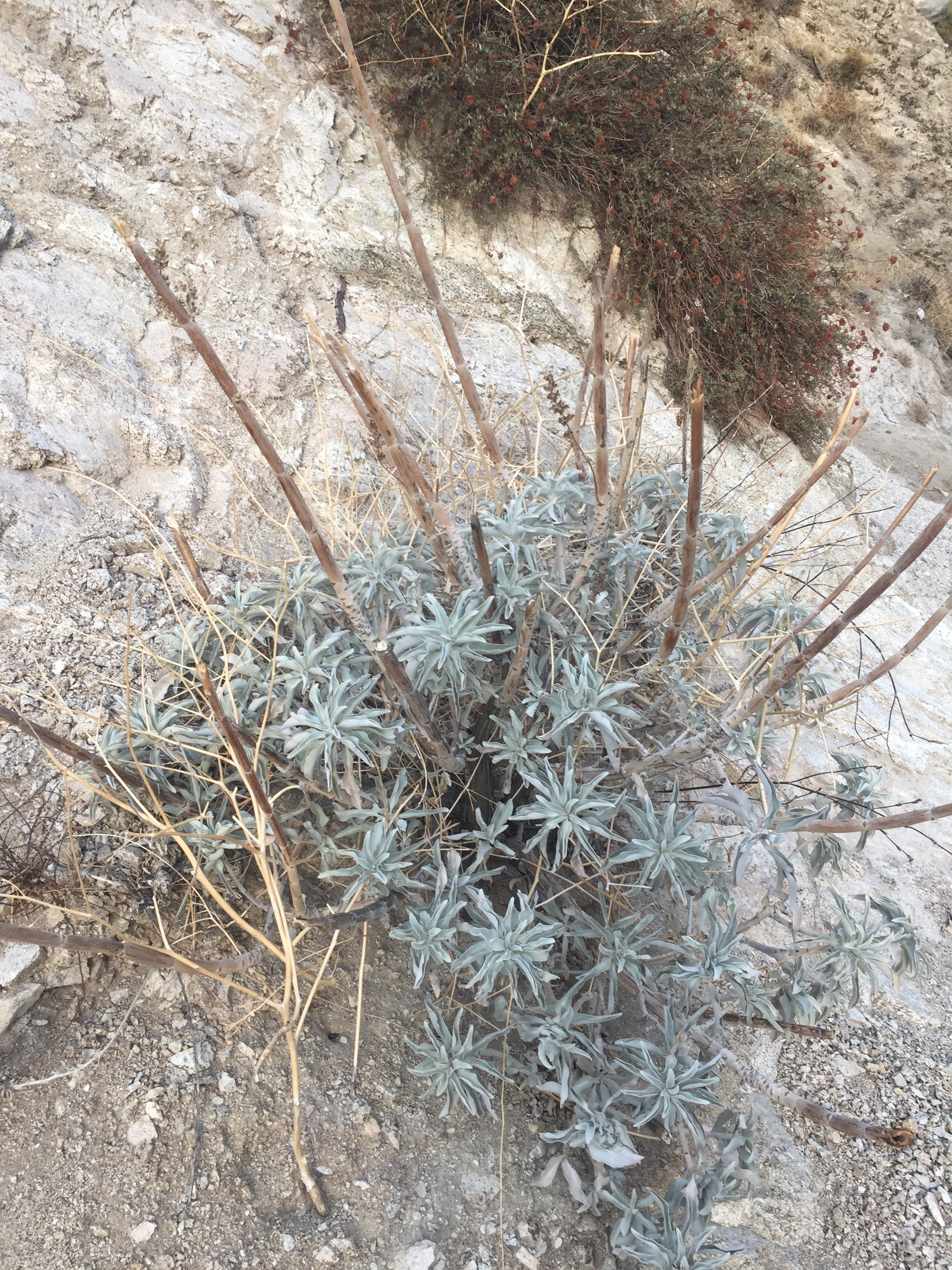 A new plant that is prolific on the dry slopes around 2000', whose silvery grey foliage is striking in early morning light