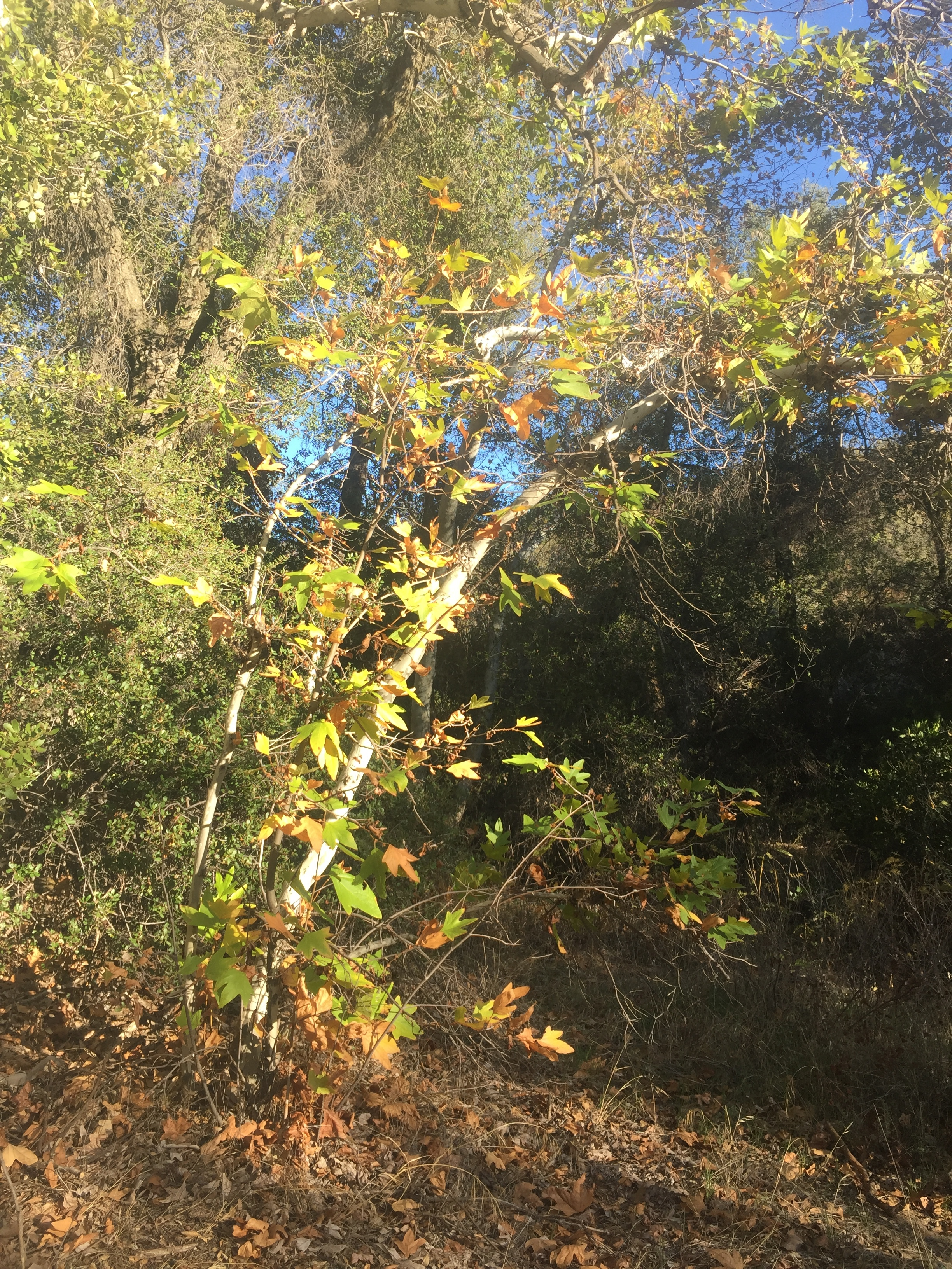 It's fall in the Agua Caliente drainage