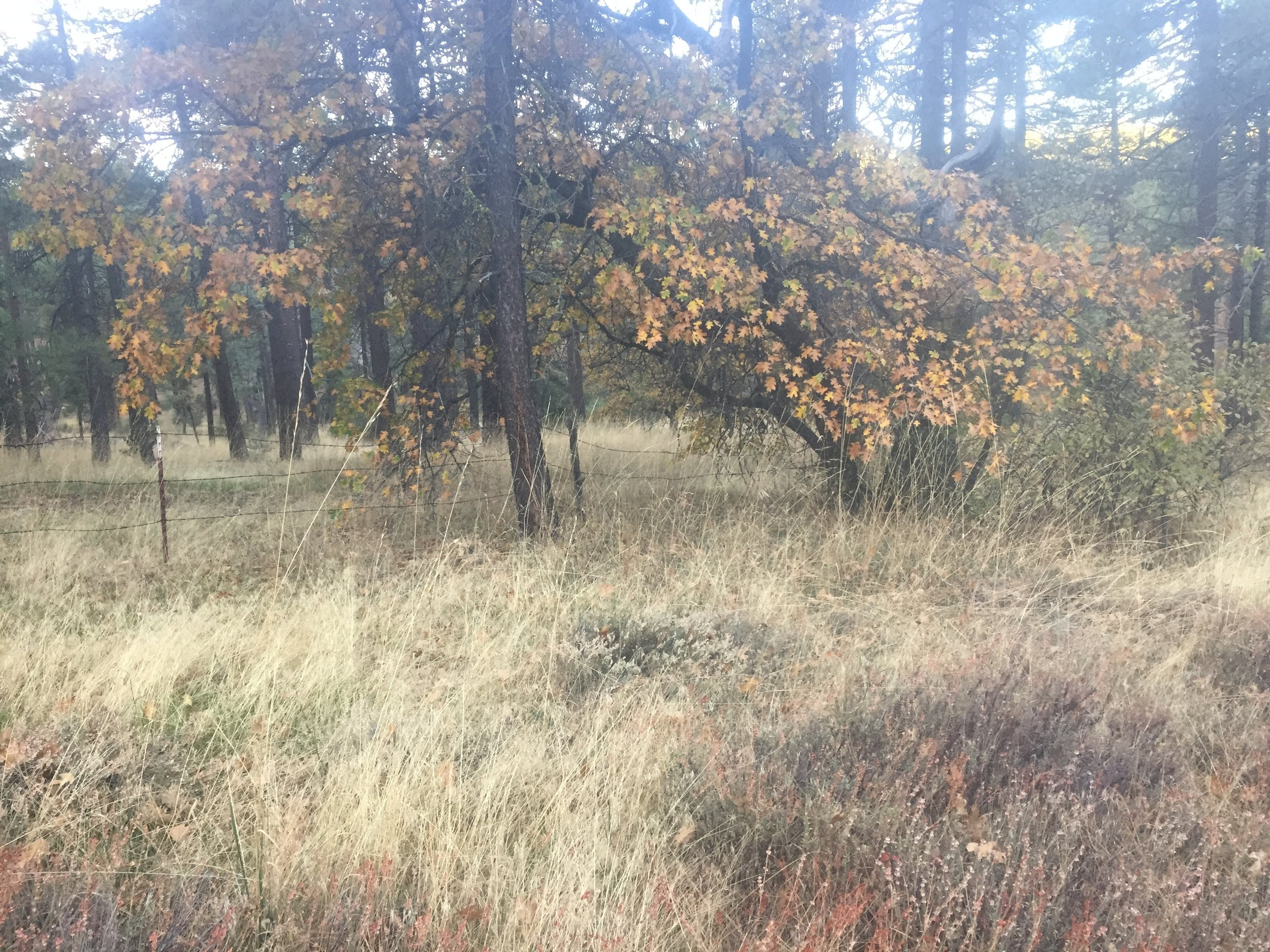 Golden fall colors in the oaks and dry grasses around Mt. Laguna in early November