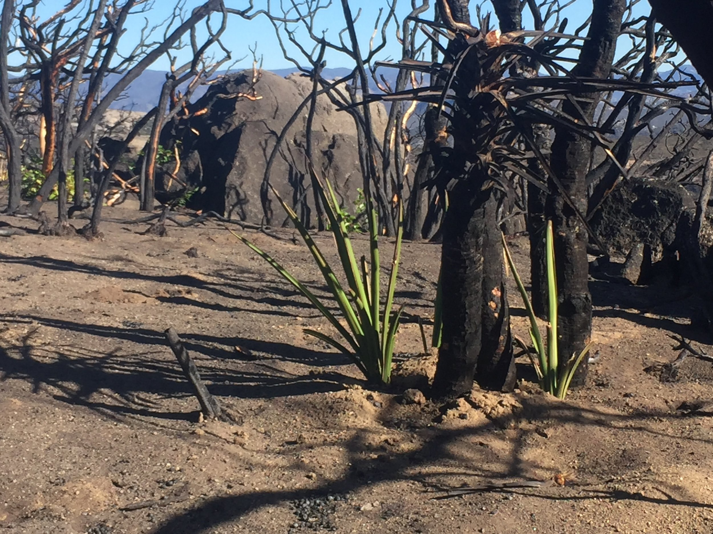 New shoots surround nearly every charred stalk in the Border Fire burn zone