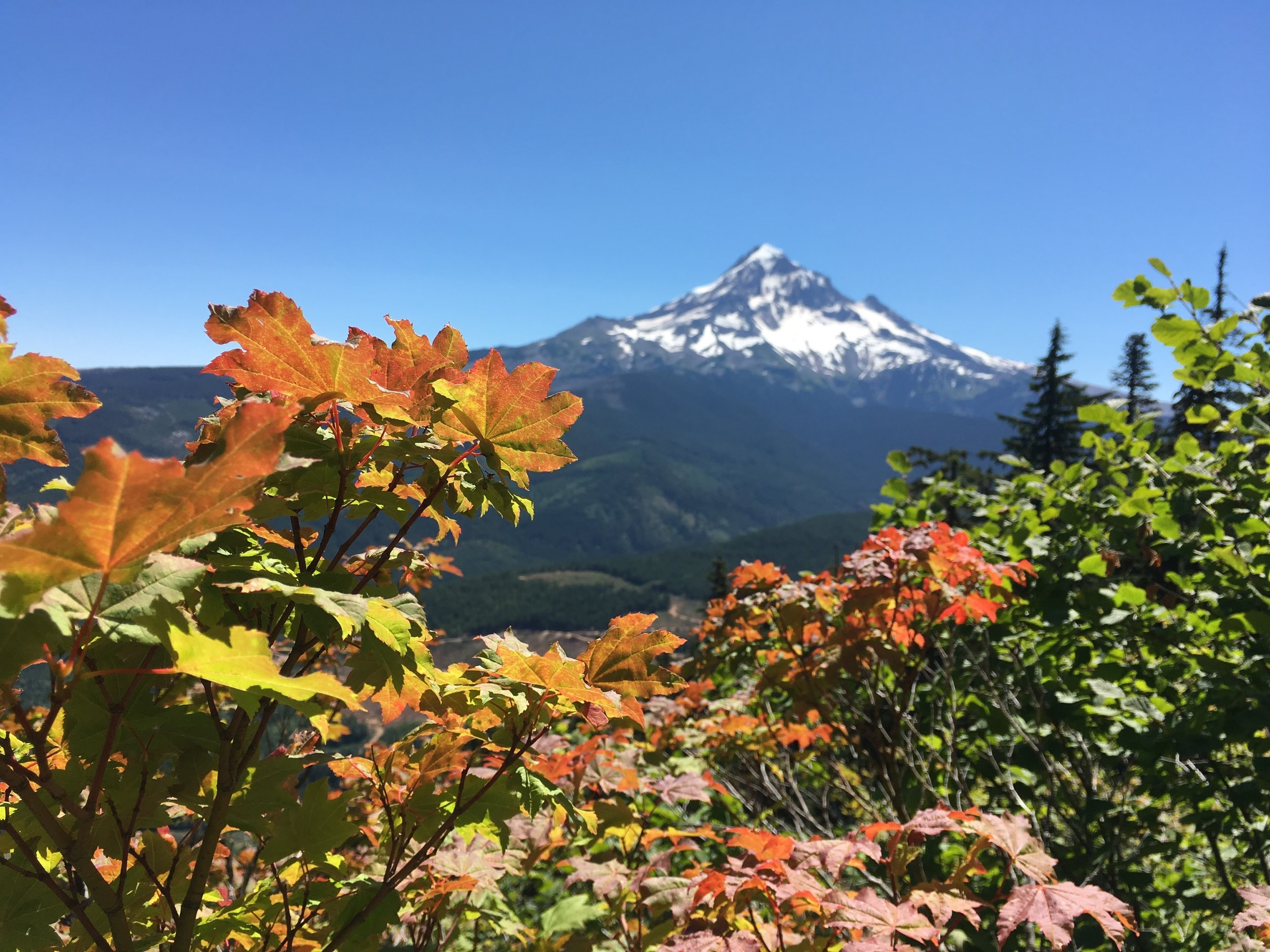 PCT Day 31- Big Leaf Maple and Mt Hood.JPG