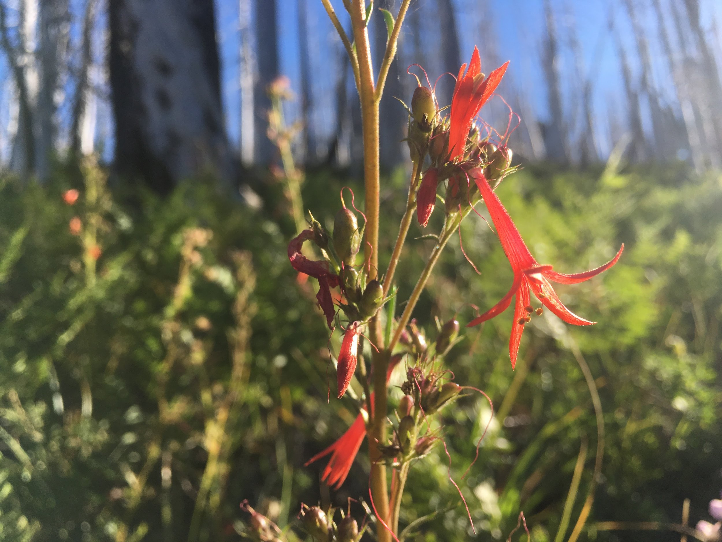 PCT Day 37- Red wild flowers in the meadows of the burn.JPG