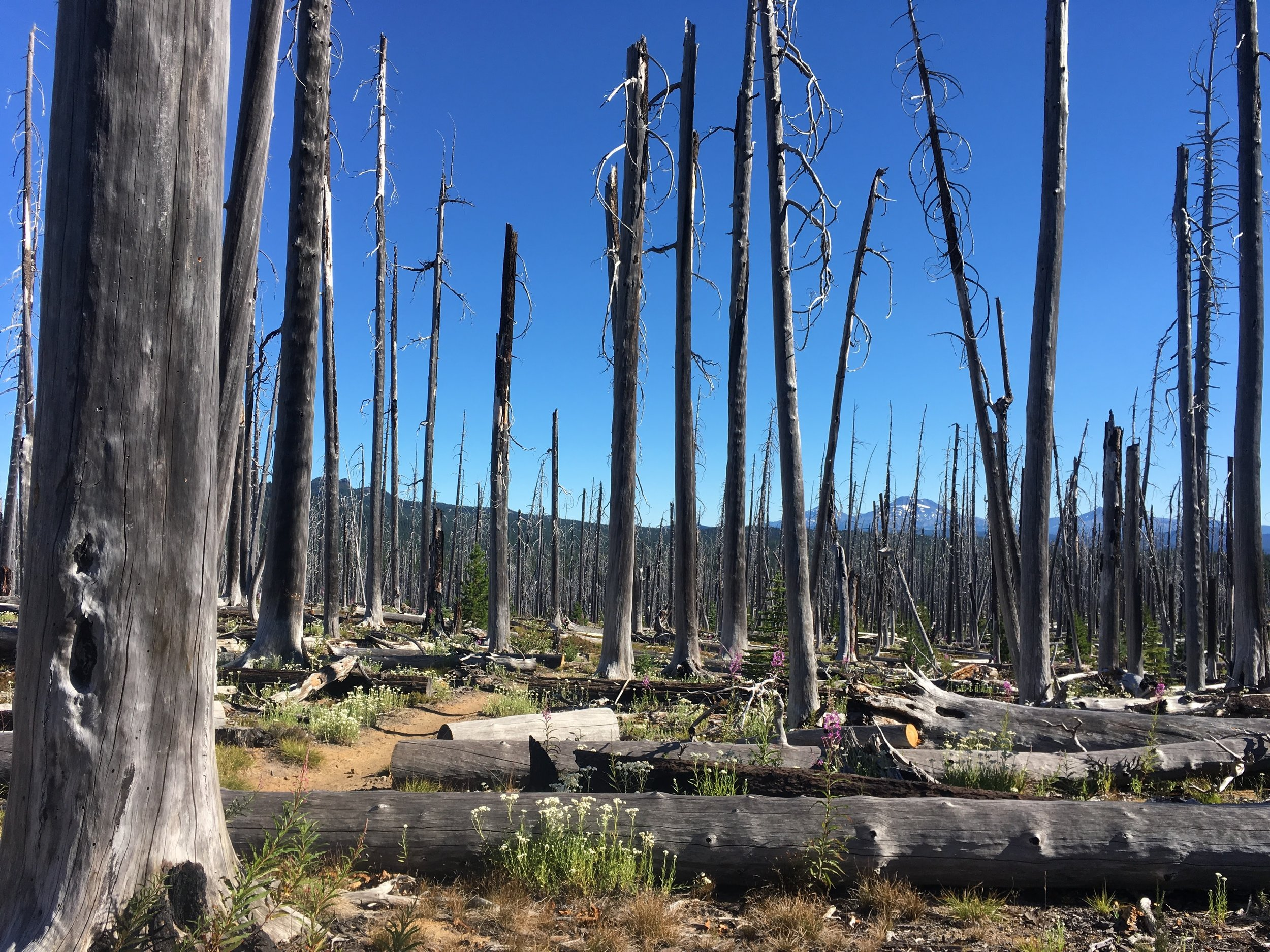 PCT Day 40- burned forest north of Santiam Pass.JPG