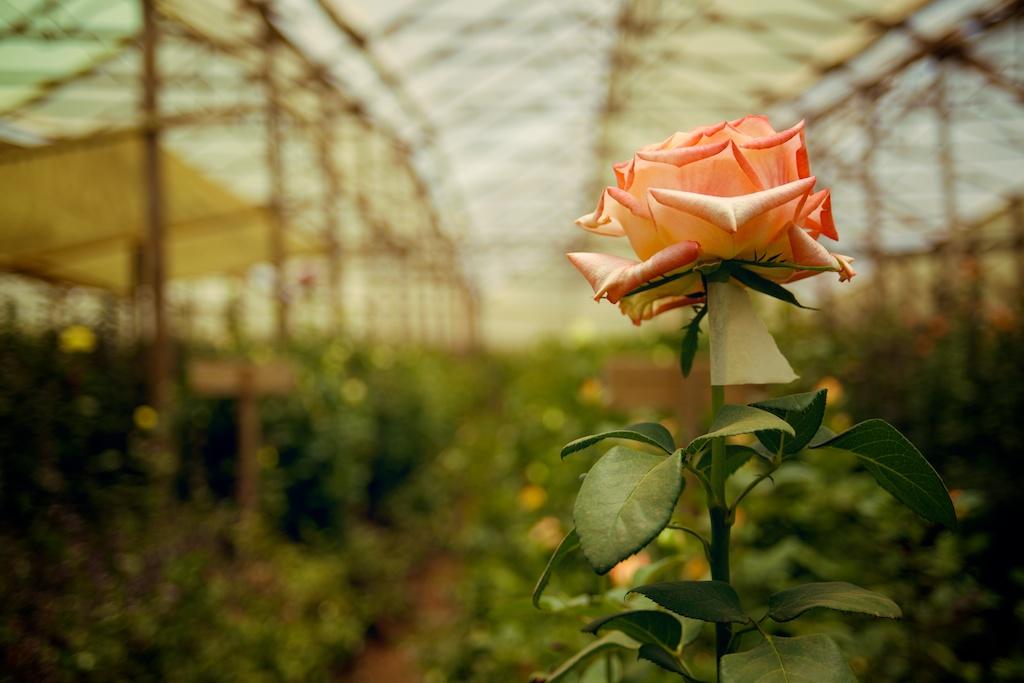 BARAKA ROSES 024.jpg