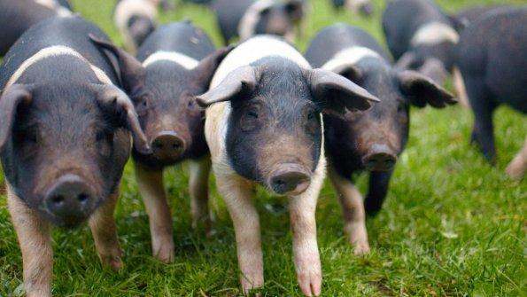 wessex saddleback pigs