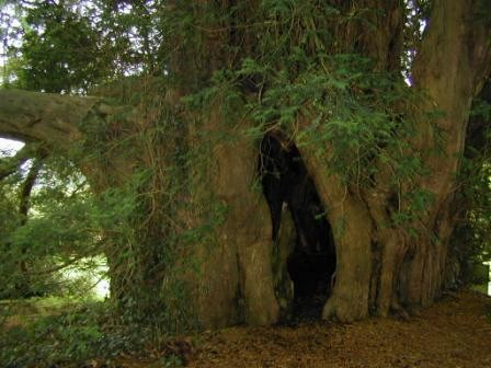 The Great Yew, Hambledon Chrch