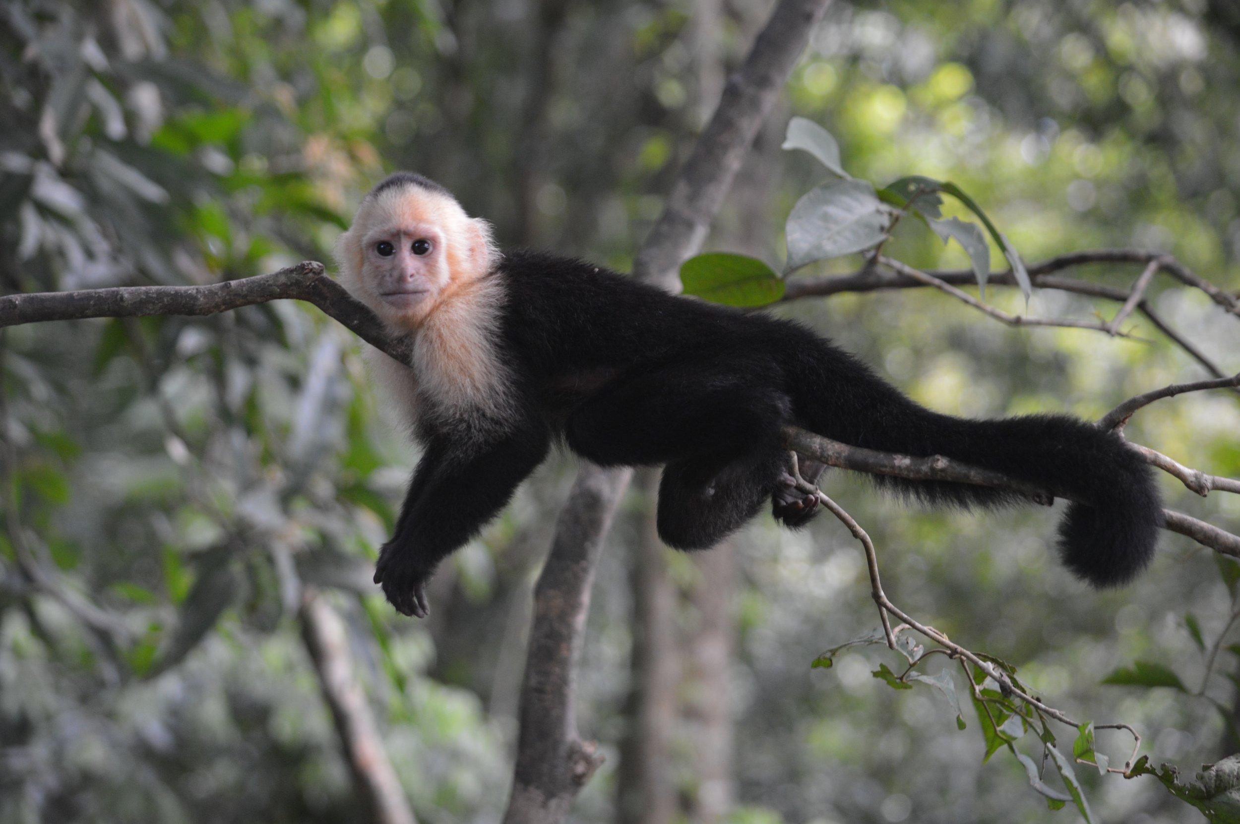 Costa Rica_Manuel Antonio_Monkey.jpg