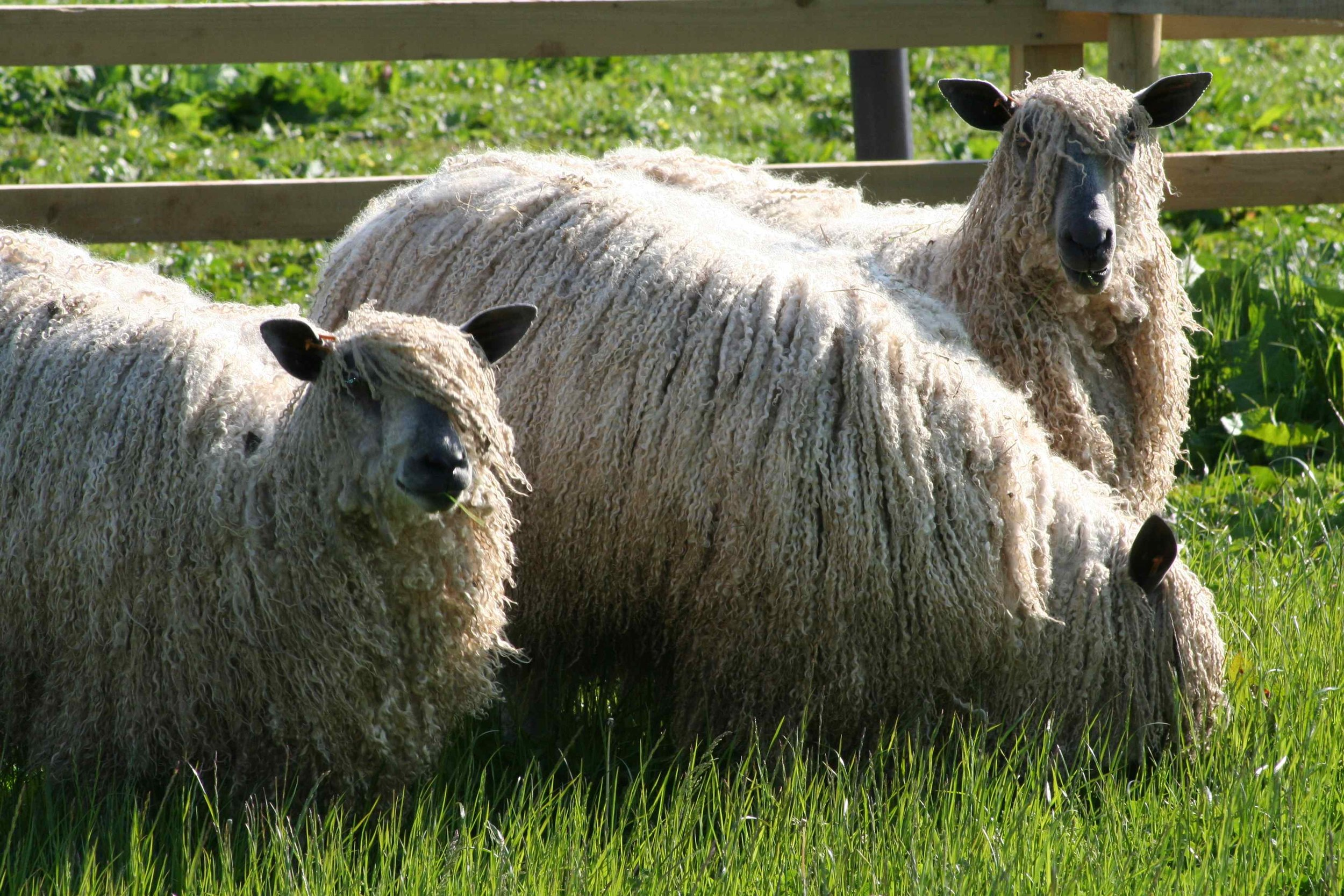 You will meet Alice's Wensleydale sheep and pedigree Angora goats!
