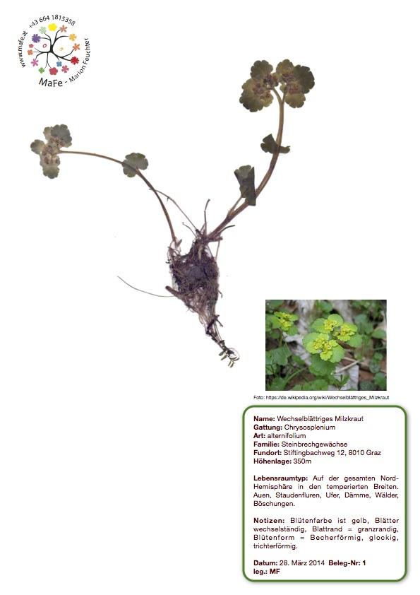 Herbarium Nr. 1 - Wechselblättriges Milzkraut