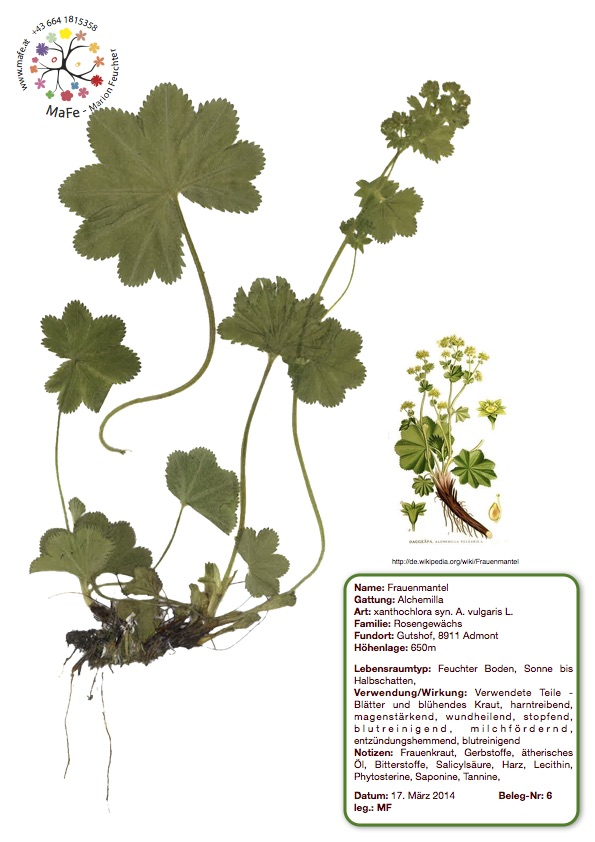 Herbarium Nr. 6 - Frauenmantel