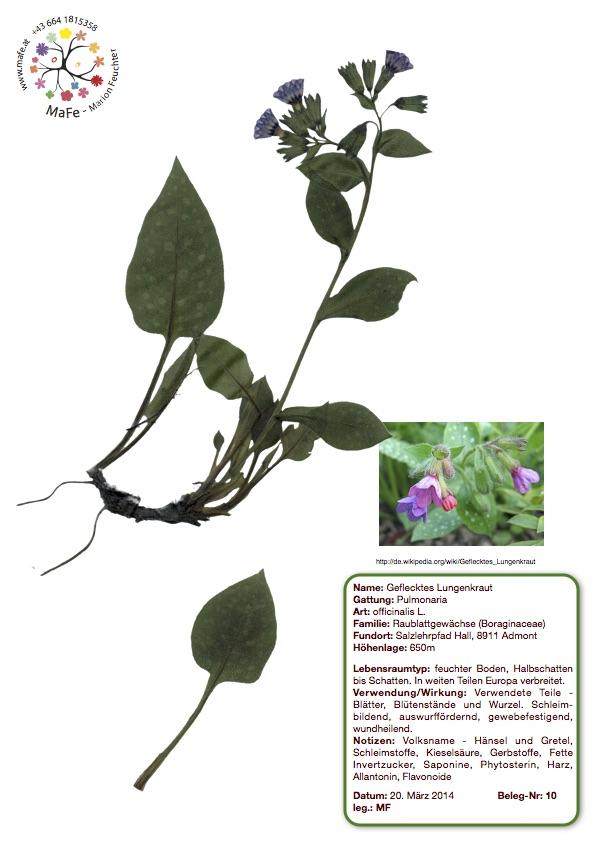 Herbarium Nr. 10 - Geflecktes Lungenkraut