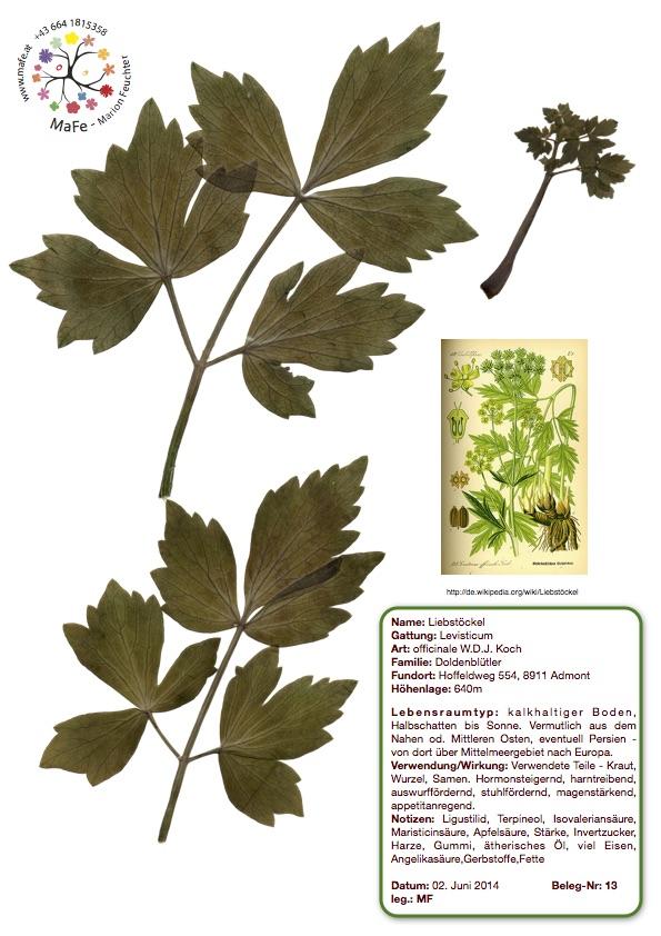 Herbarium Nr. 13 - Liebstöckel