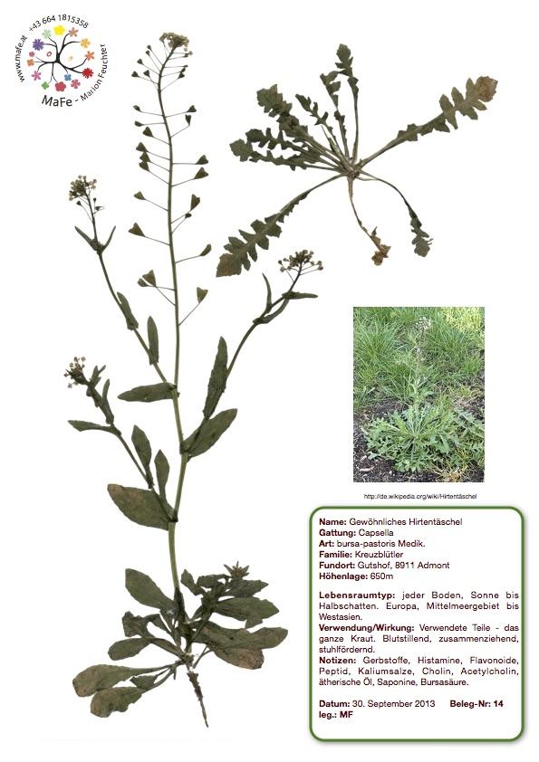 Herbarium Nr. 14 - Gewöhnliches Hirtentäschel