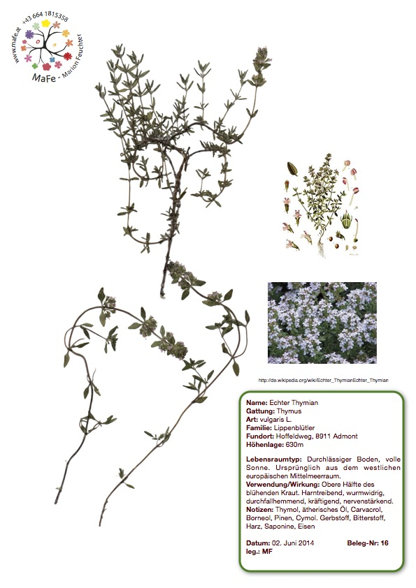 Herbarium Nr. 16 - Echter Thymian
