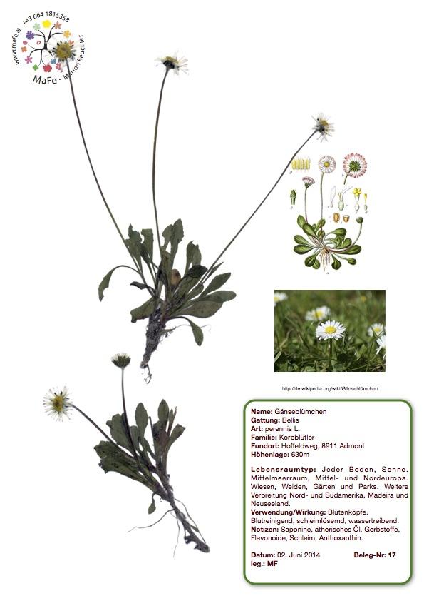 Herbarium Nr. 17 - Gänseblümchen
