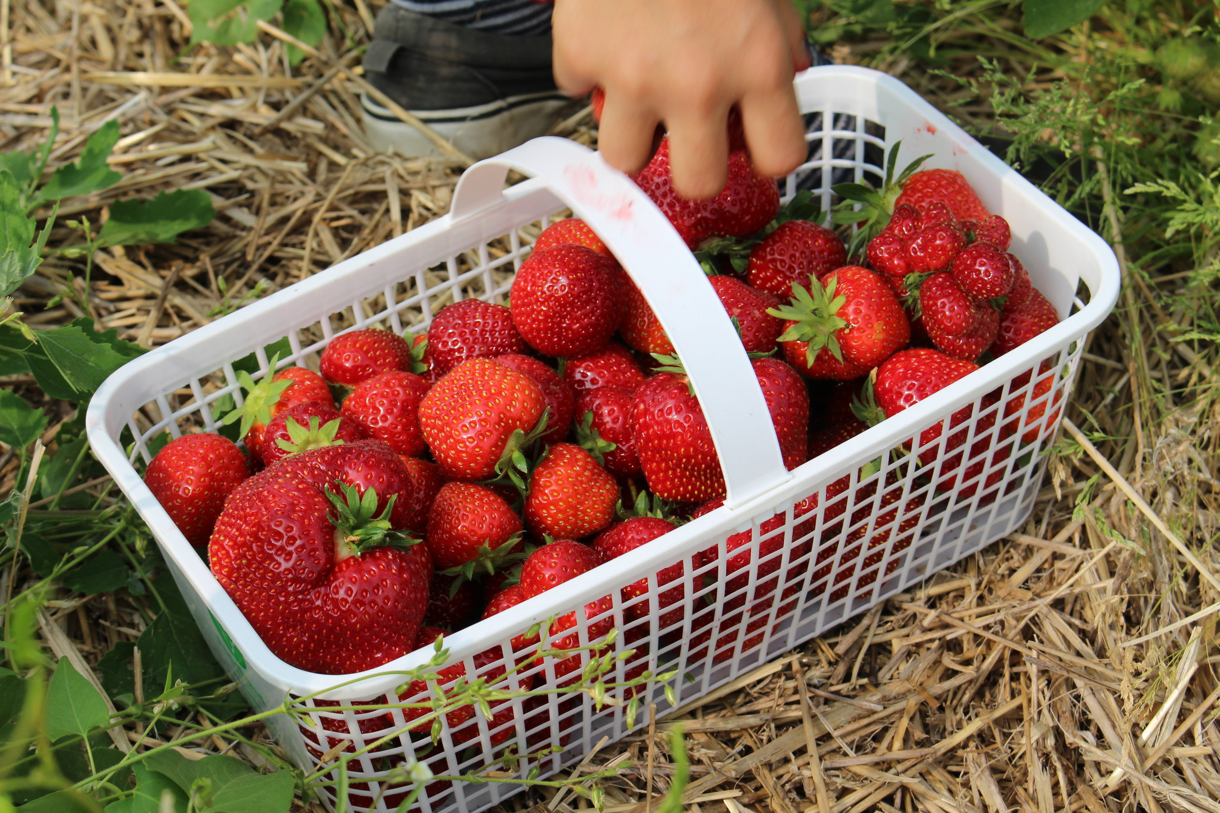 Strawberries   With a number of varieties in our crop, we are able to provide ripe, delicious berries right from day one of the season. Enjoy the tradition of berry picking with your family for seasons to come.