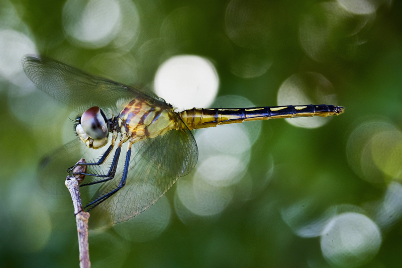 Exhibit AwardJames Keivon/Daily NewsDRAGONFLYCloseup of a dragonfly on June 17, 2016 in Kissimmee, Florida.