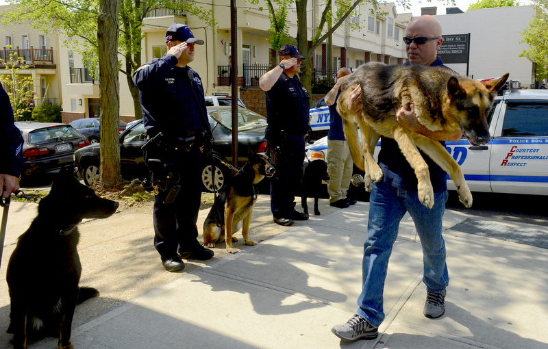 Second PlaceTodd Maisel/Daily NewsHIS FINAL WALKOfficers on Bay Street in Staten Island saluted as NYPD K-9 Detective William Hernandez carried Duke, 13, into Rosebank Animal Hospital where his partner of 10 years in the field was to be euthanized because he was too ill, May 11, 2016. The dog worked for NYPD for 10 years, longer than most any dog of his kind.