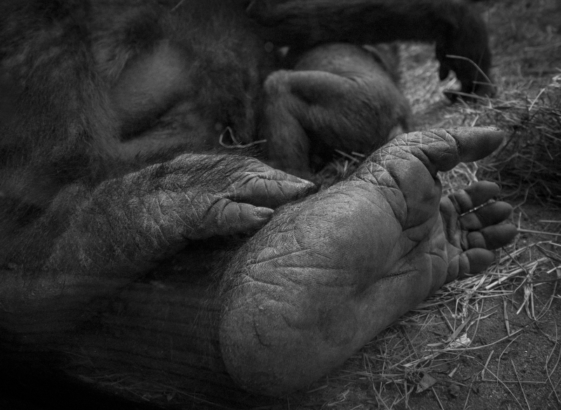 Honorable MentionAnthony Delmundo/Daily NewsTENDER TOUCHA mother gorilla and her baby sleep in inside Bronx Zoo in the Bronx on June 18, 2016.