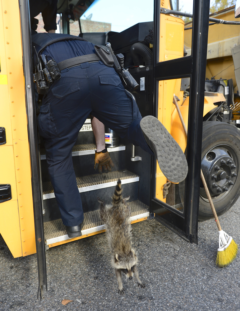Sleeping children, no, sleeping raccoons: A pair of errant raccoons had to be forced off a school bus this morning, belonging to All American School Bus in Mill Basin, by ESU and cops at the corner of Avenue U and East 63rd Street in Mill Basin Brooklyn October 3, 2017. The bus driver said he found the two sleeping under a seat and called police. ESU Police Officers Matt Niemeyer and John Silvestri were able to coax the pair out of the bus, but had to lead them to freedom.