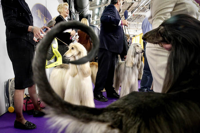 Afghan Hounds wait with their handler to be judged.  The 2018 Westminster dog show held at Piers 92 & 94 in New York City.  Monday February 12, 2018. New York, NY, USA