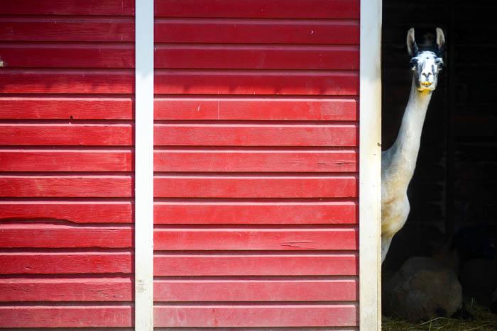 A llama pokes his head from a barn