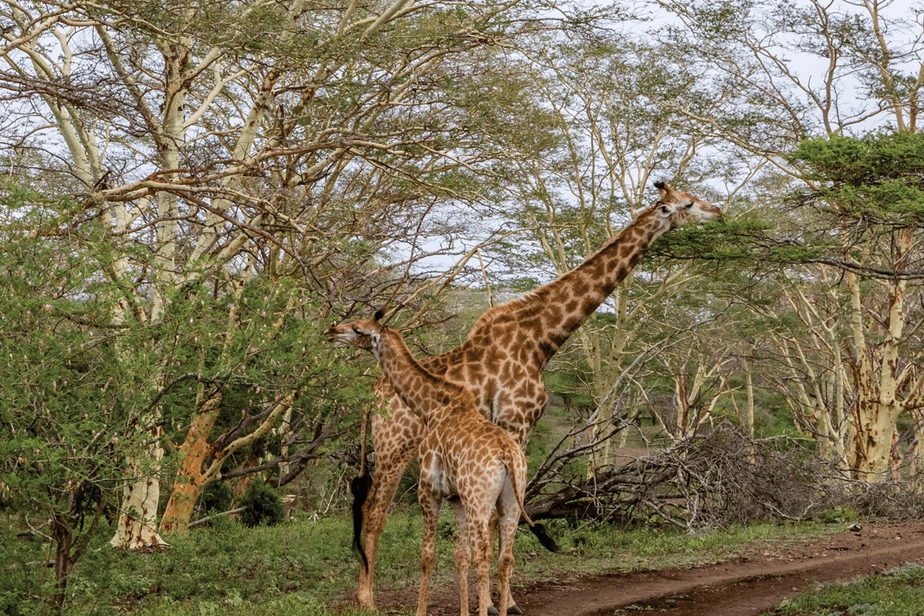 giraffezn.png