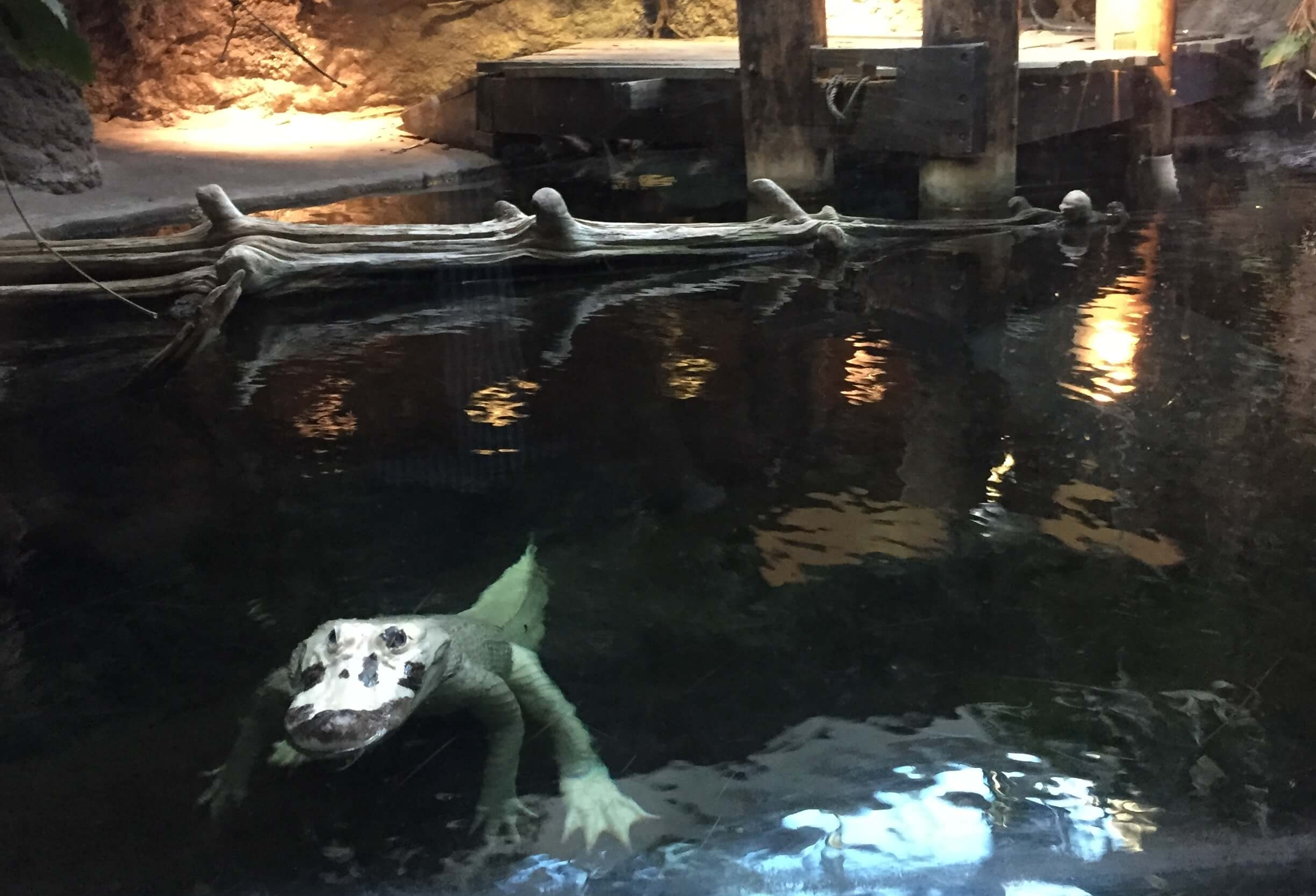 An albino alligator at the Audubon Aquarium of the Americas. #5 in Best Things to Do in the French Quarter.